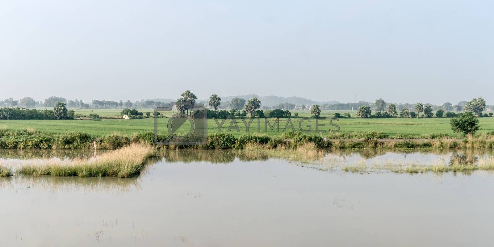 Landscape Scenery of Agriculture field in Agrarian India. A Traditional Rice farm horizon during monsoon. Typical tropical green countryside harvest of Indian agricultural land.