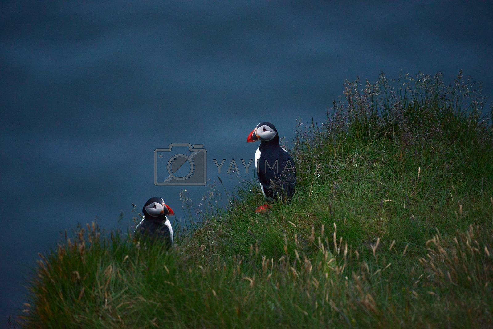 Royalty free image of Puffin colony at Dyrholaey, Iceland  by porbital