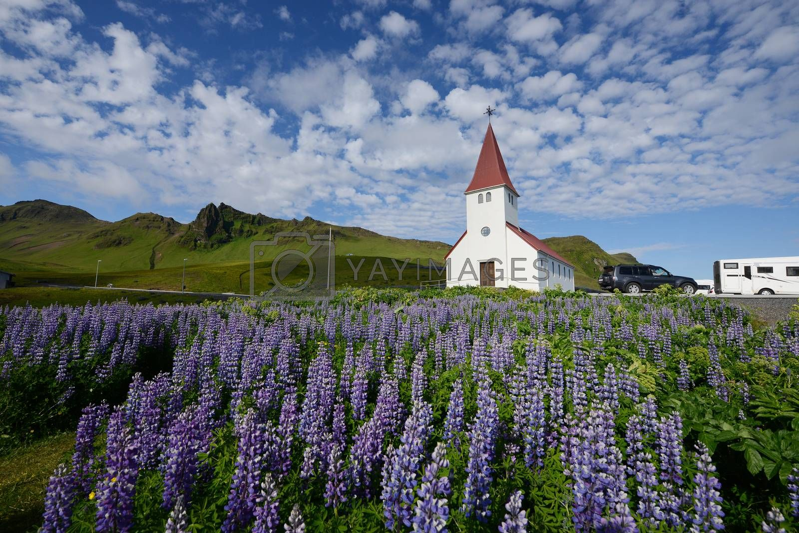 Royalty free image of Lupine in Iceland by porbital