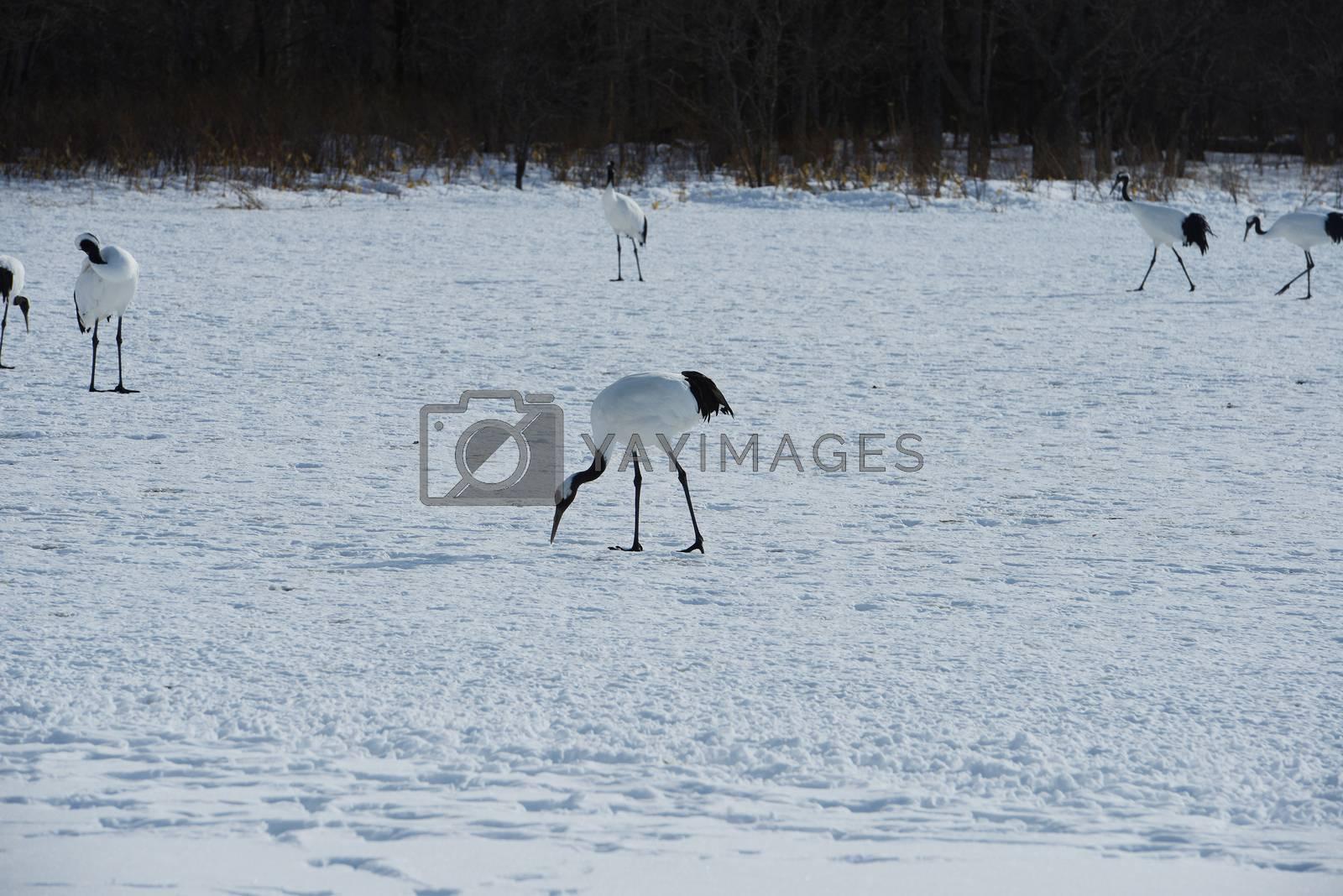 Royalty free image of Japanese crane by porbital