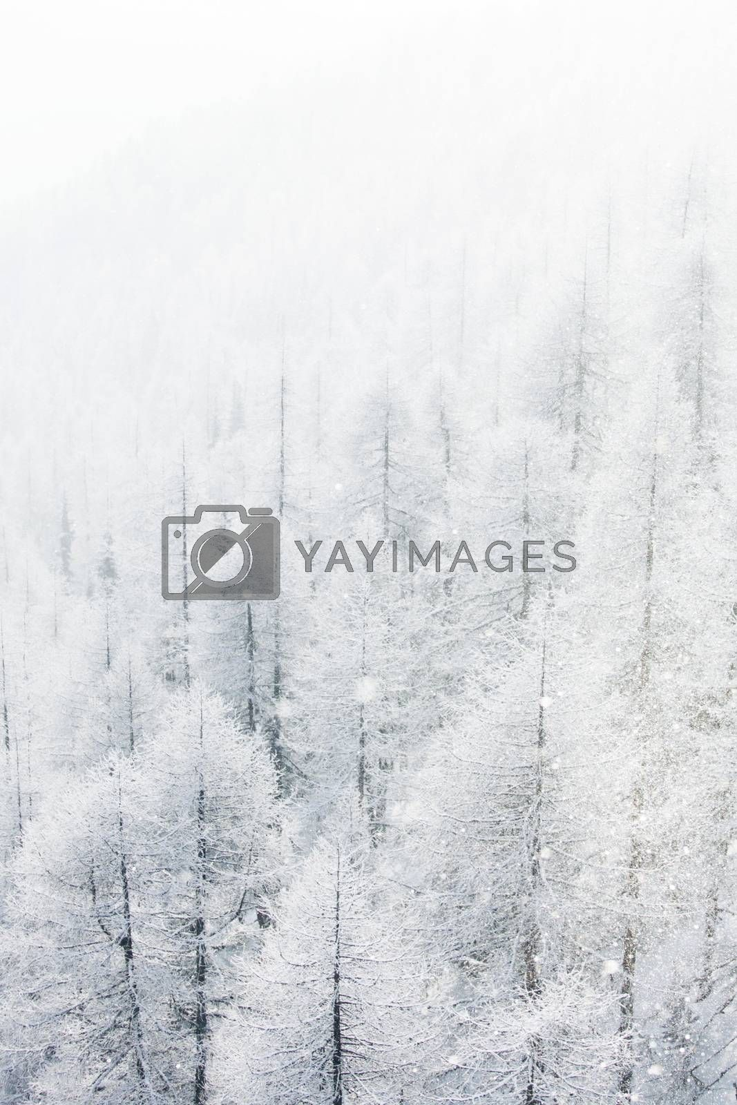 Winter landscape with mountain forest of snow covered trees