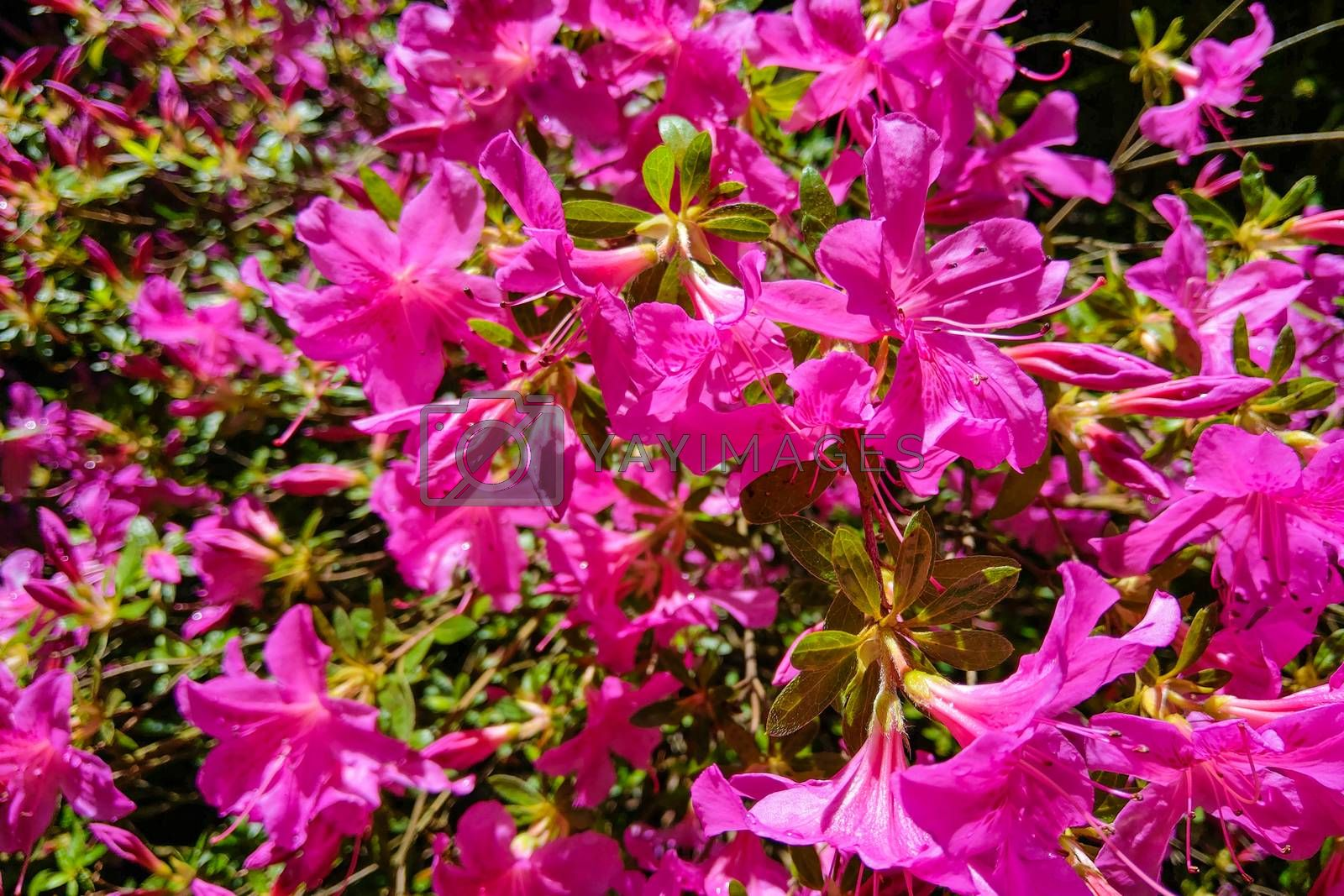 Mirabilis jalapa, the miracle of Peru or a four-hour flower, is the most common ornamental species of the Mirabilis plant and is available in various colors. by kip02kas