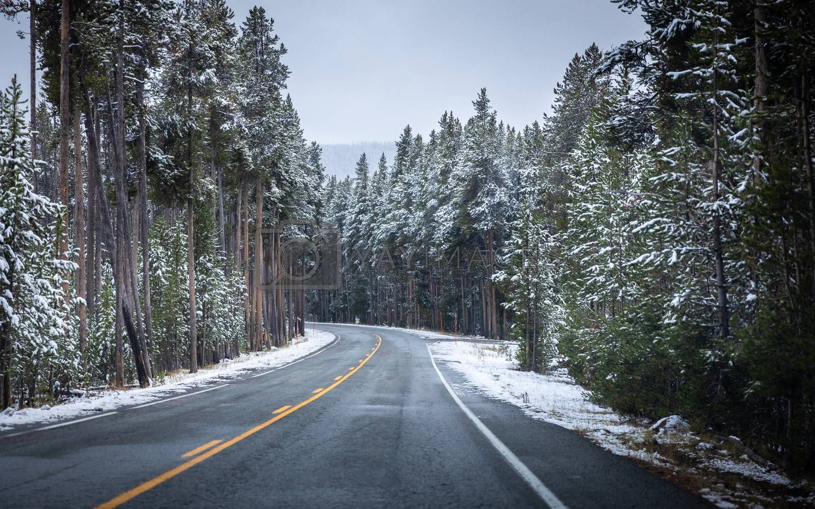 Road inside forest of Yellowstone National Park, Wyoming with pine trees covered by snow in early October. Main roads starting to close soon due to snow problem in winter season.