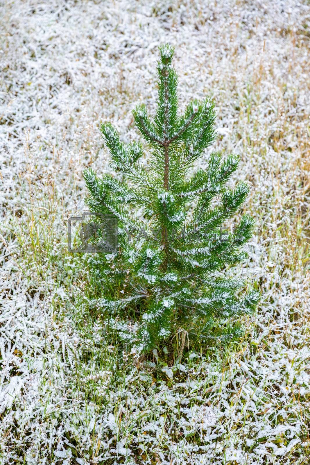 Small pine tree growing from geothermal heat ground of Yellowstone National Park which covering by snow in winter season.
