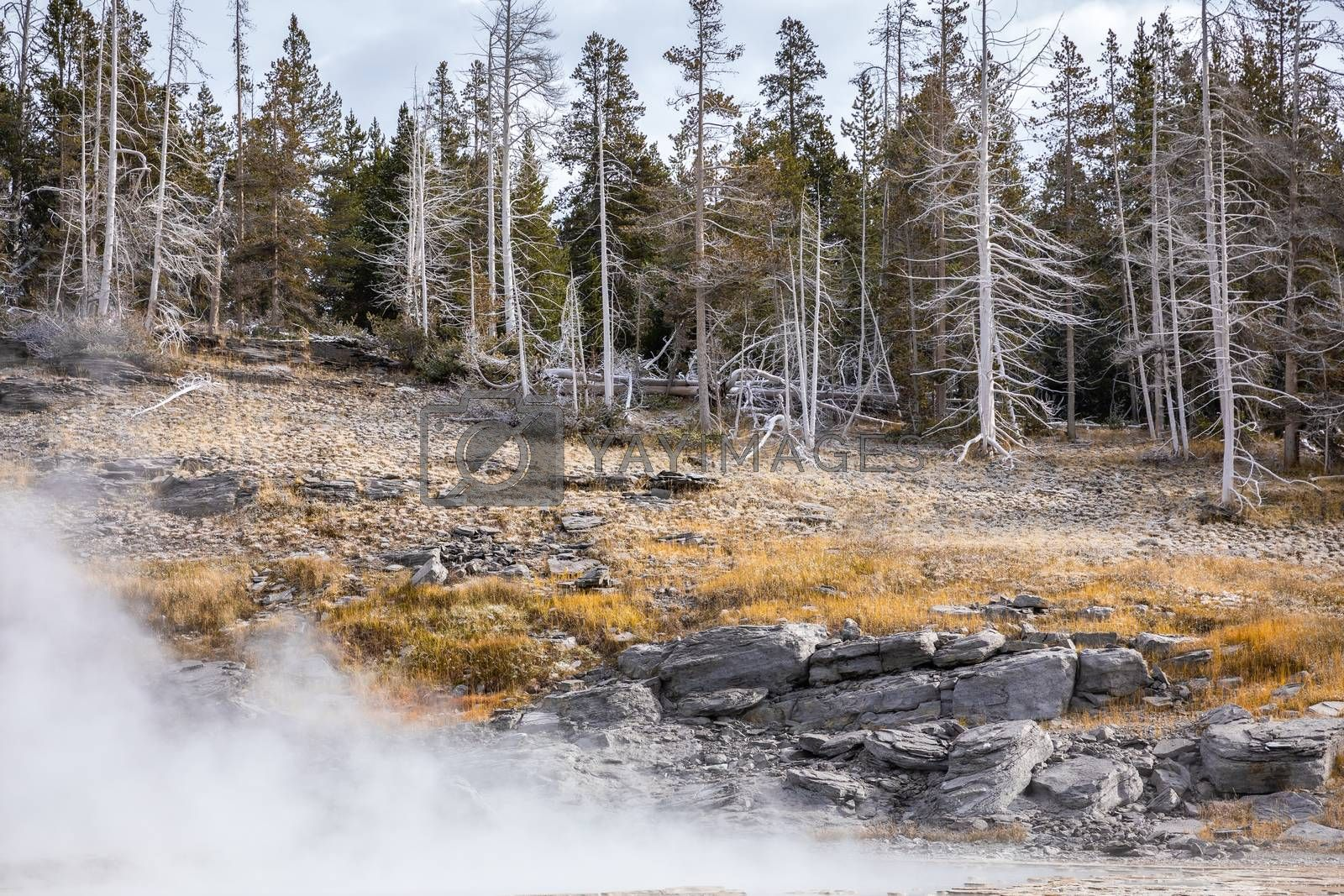 Dead pine trees on rock hill inside hot environment of geyser basins in Yellowstone National Park, Wyoming, USA.
