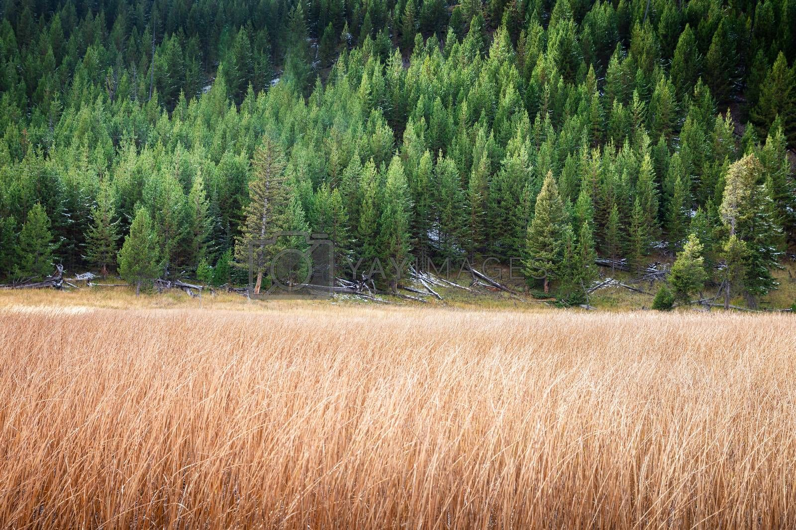 Two tones of orange grass and green pine trees on hill slope inside park of Yellowstone National Park, Wyoming, USA.