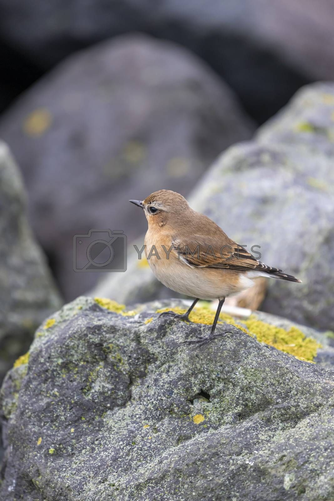 Songbird The Wheatear Oenanthe oenanthe   by Tofotografie