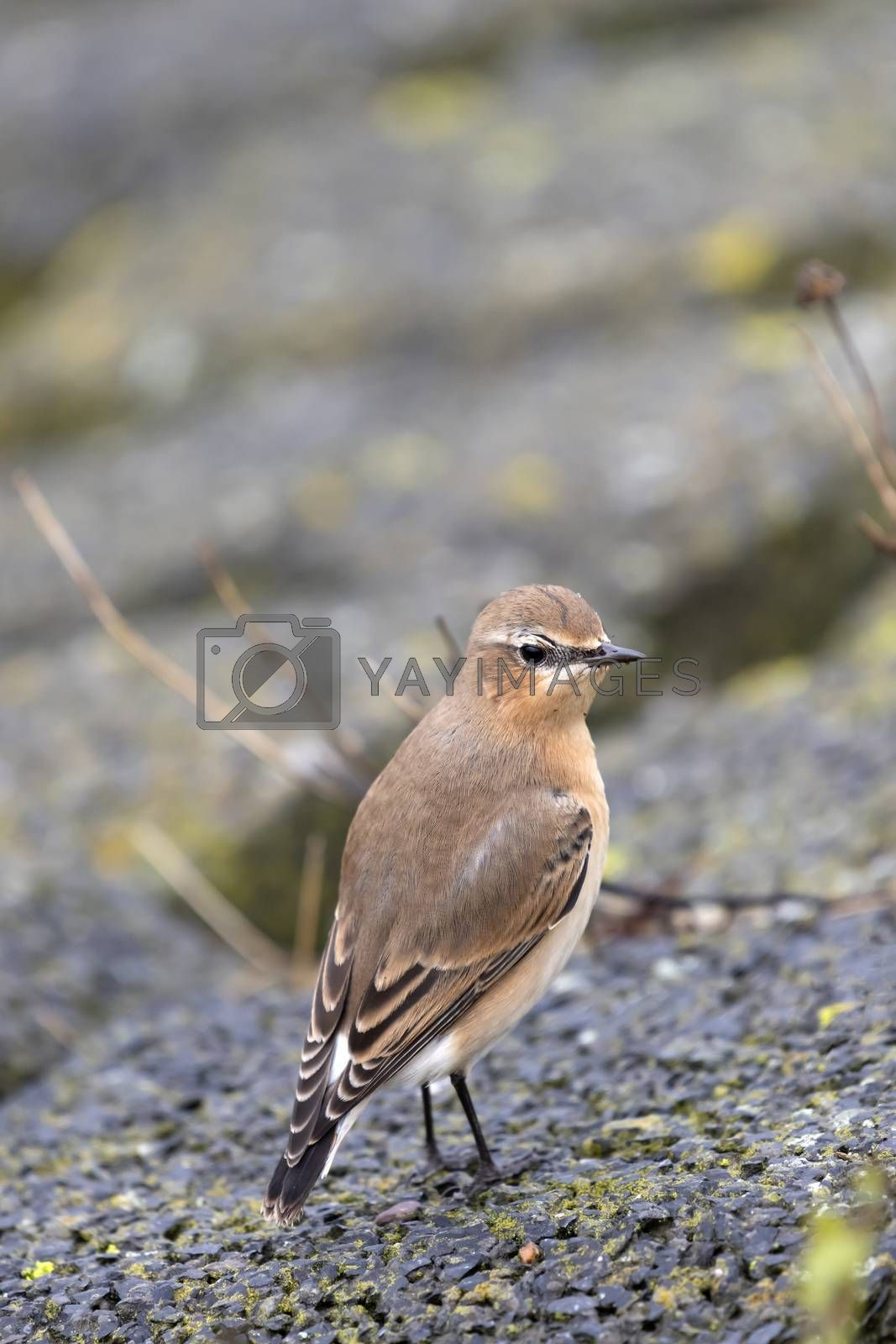Small perky songbird the Wheatear Oenanthe oenanthe on the island of Terschelling in the northern Netherlands