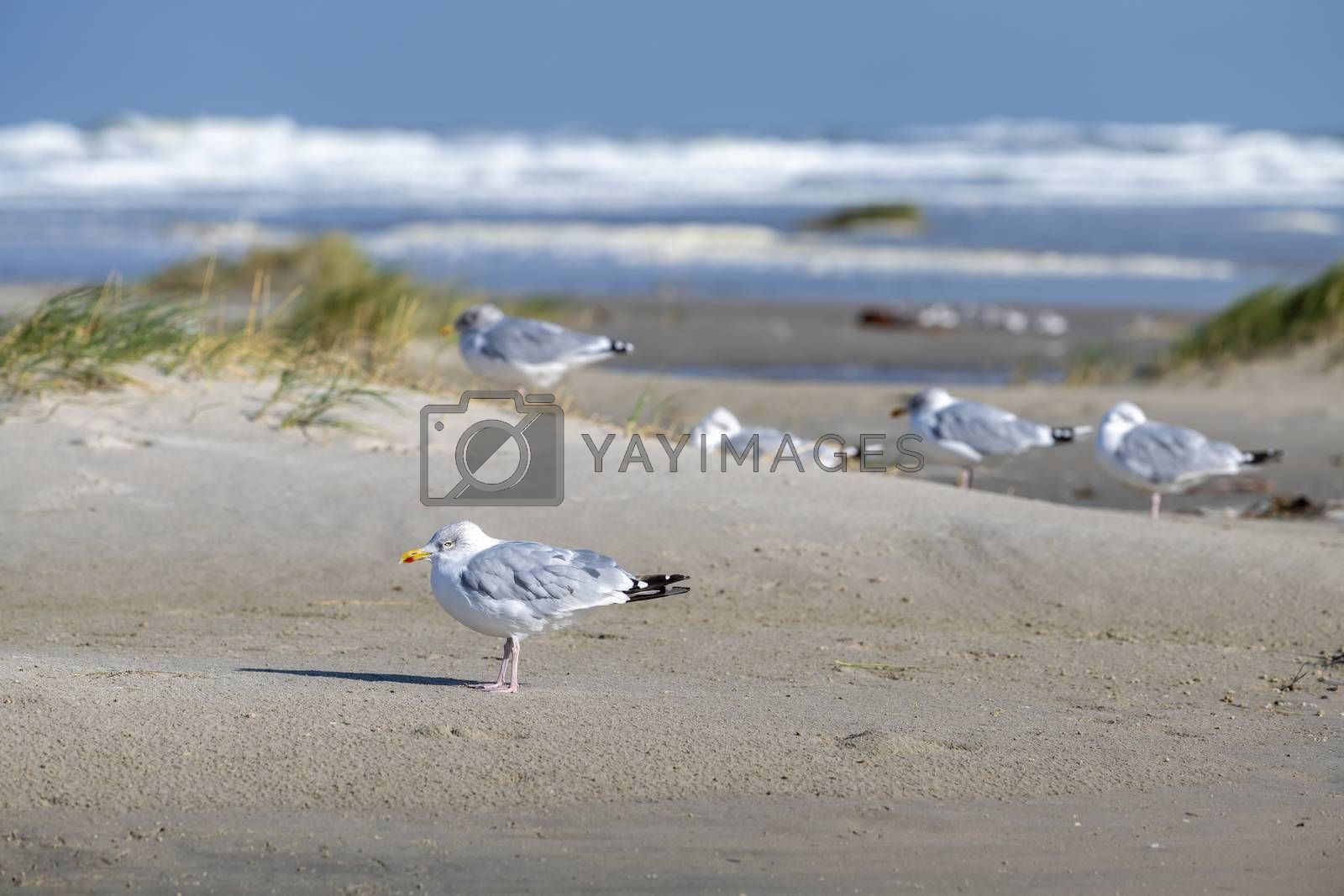 Sea gulls on the Beach of the frisian island of Terschelling   by Tofotografie