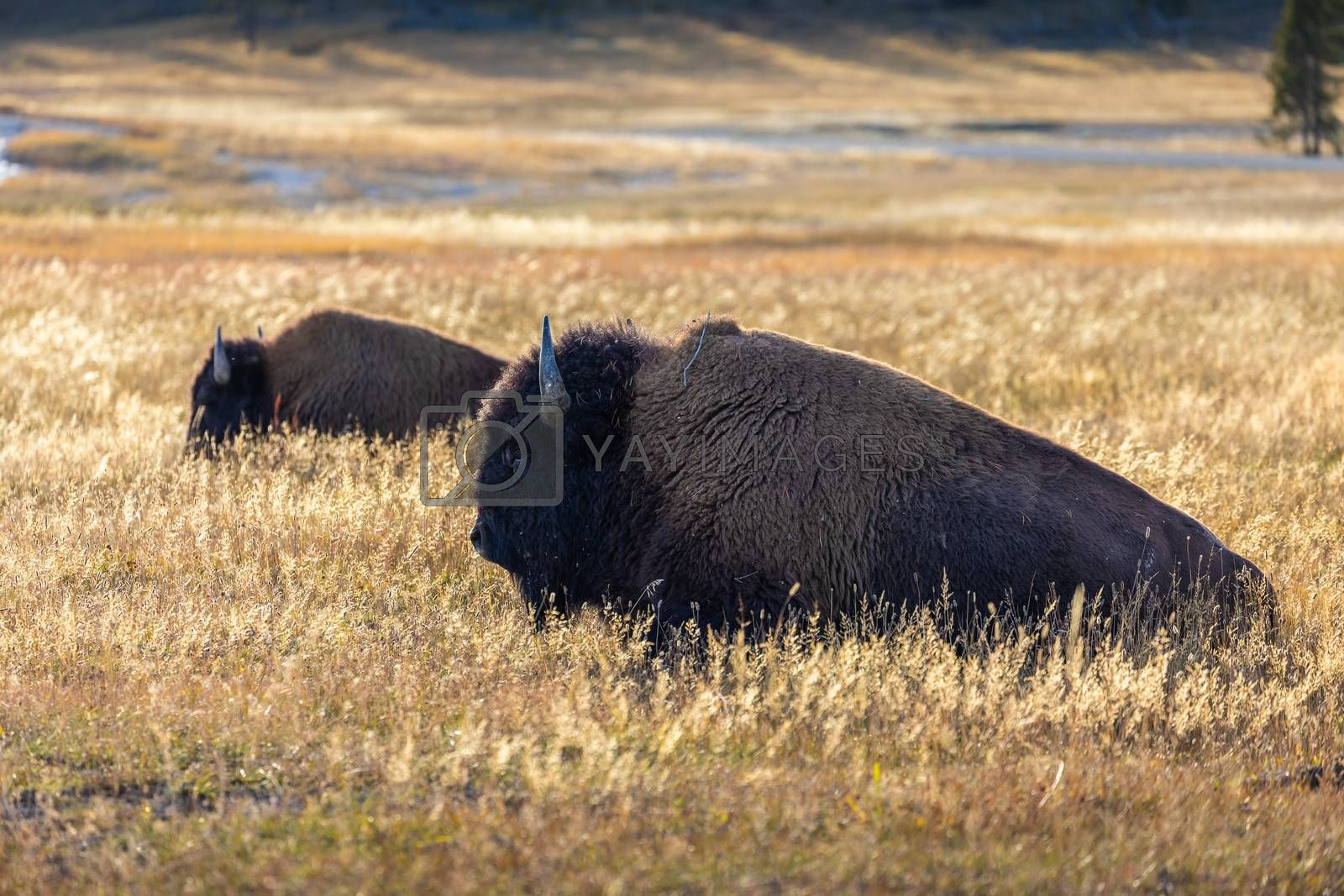 American bisons sitting in grass field of Yellowstone National Park, Wyoming, USA.