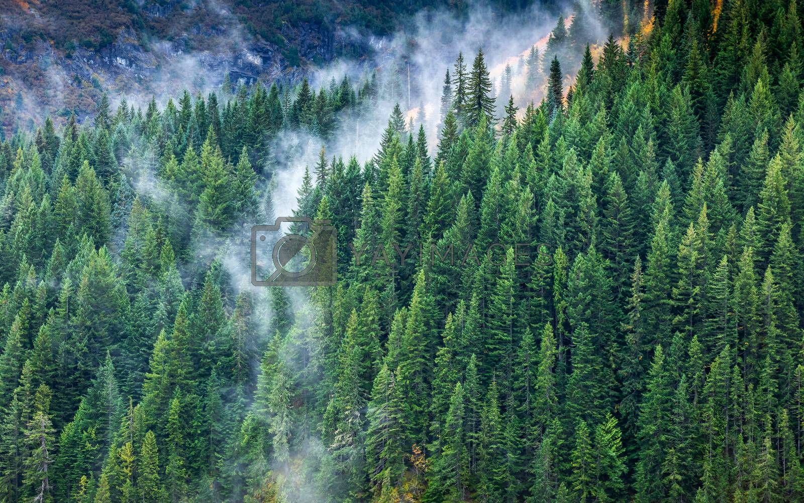 Aerial of pine trees in forest of Mount Rainier, Seattle, USA with flowing white fog in gap of trees in winter season.