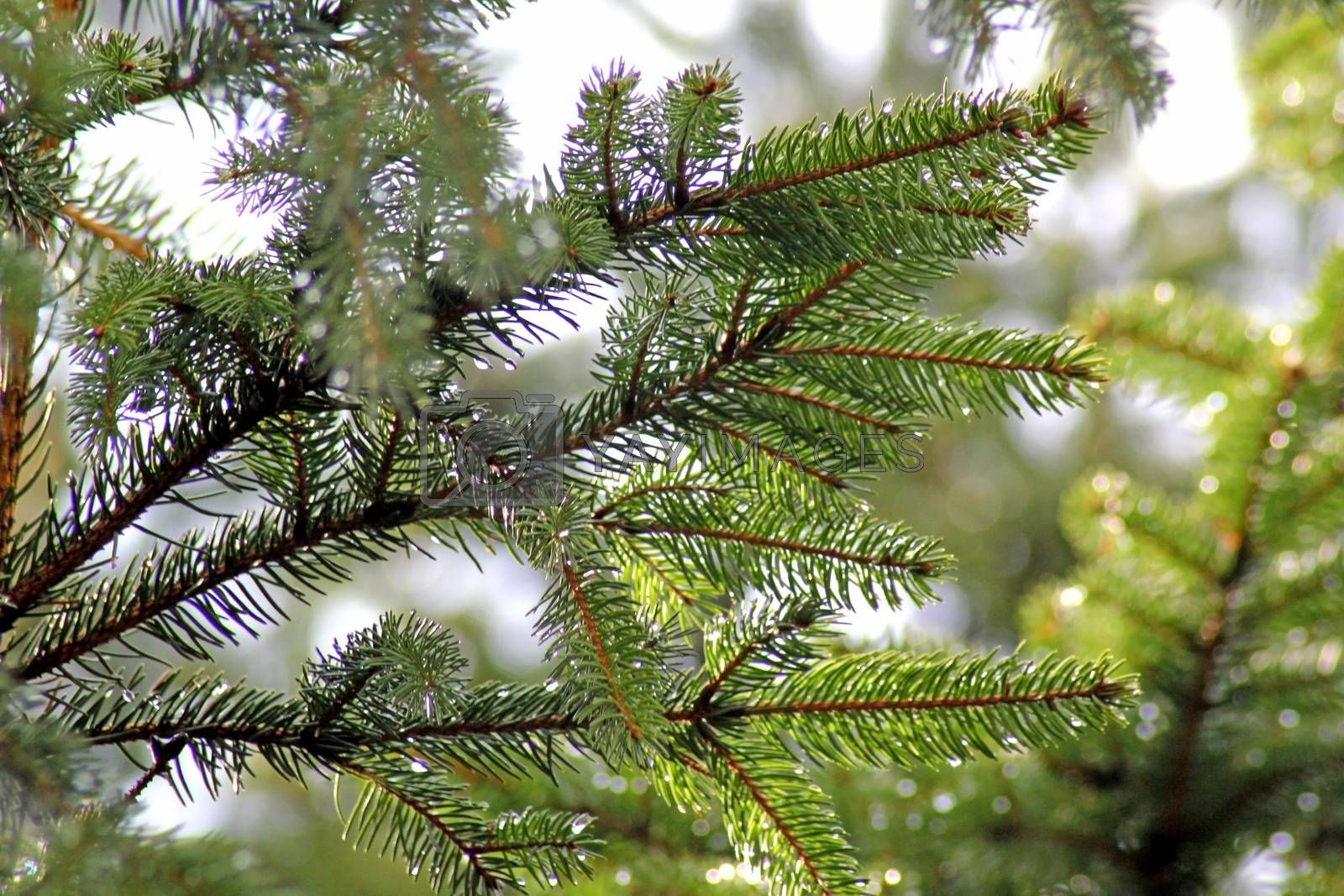 branches of spruce, covered with rain drops. Photographed close-up.