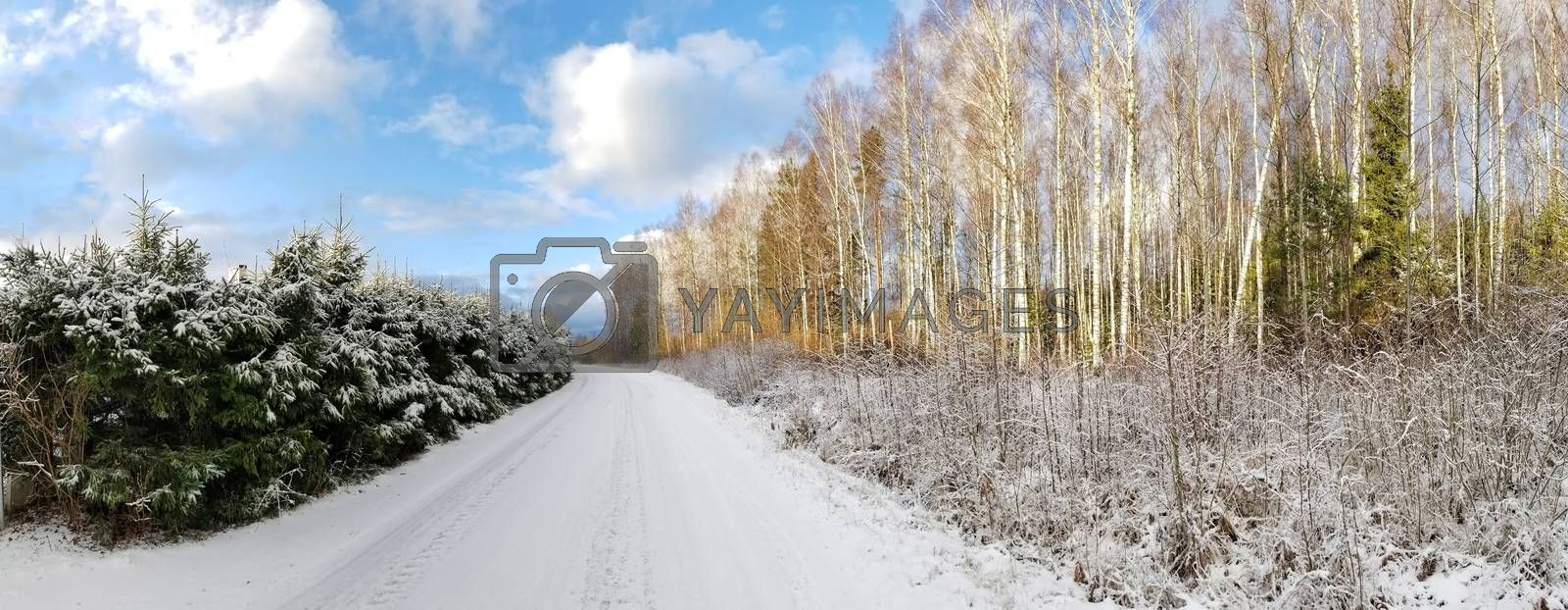 View of a road covered with snow and winter birch and spruce forest against a blue sky. Panoramic photo