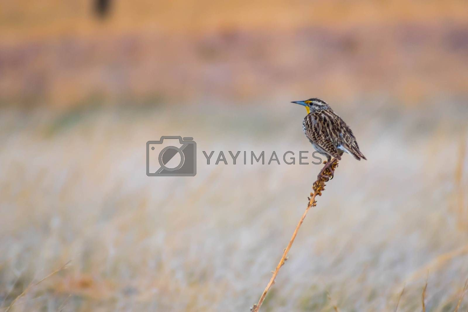 A medium-sized Icterid bird chilling on top of branch while enjoying the view of nature