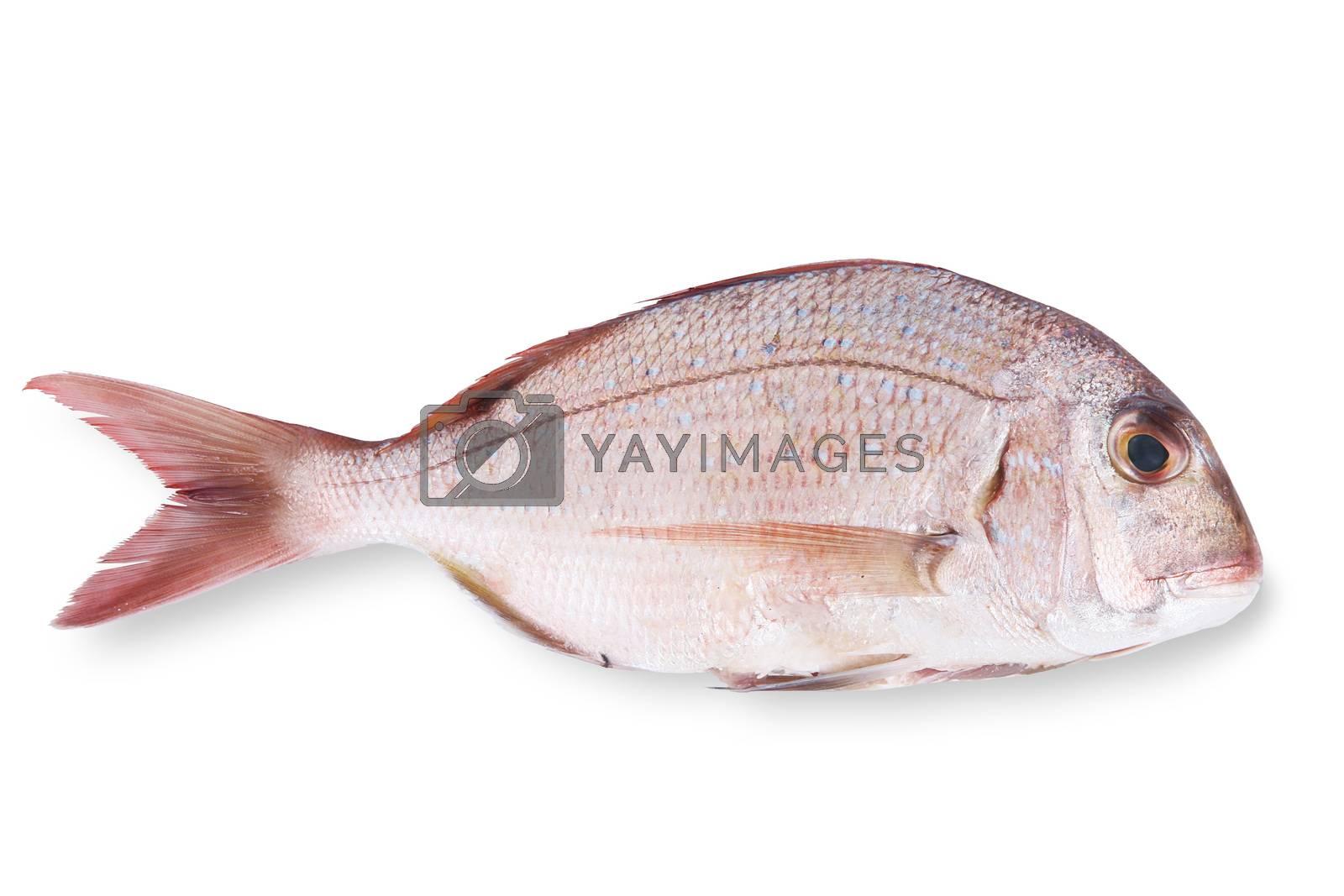 fresh fish on white background