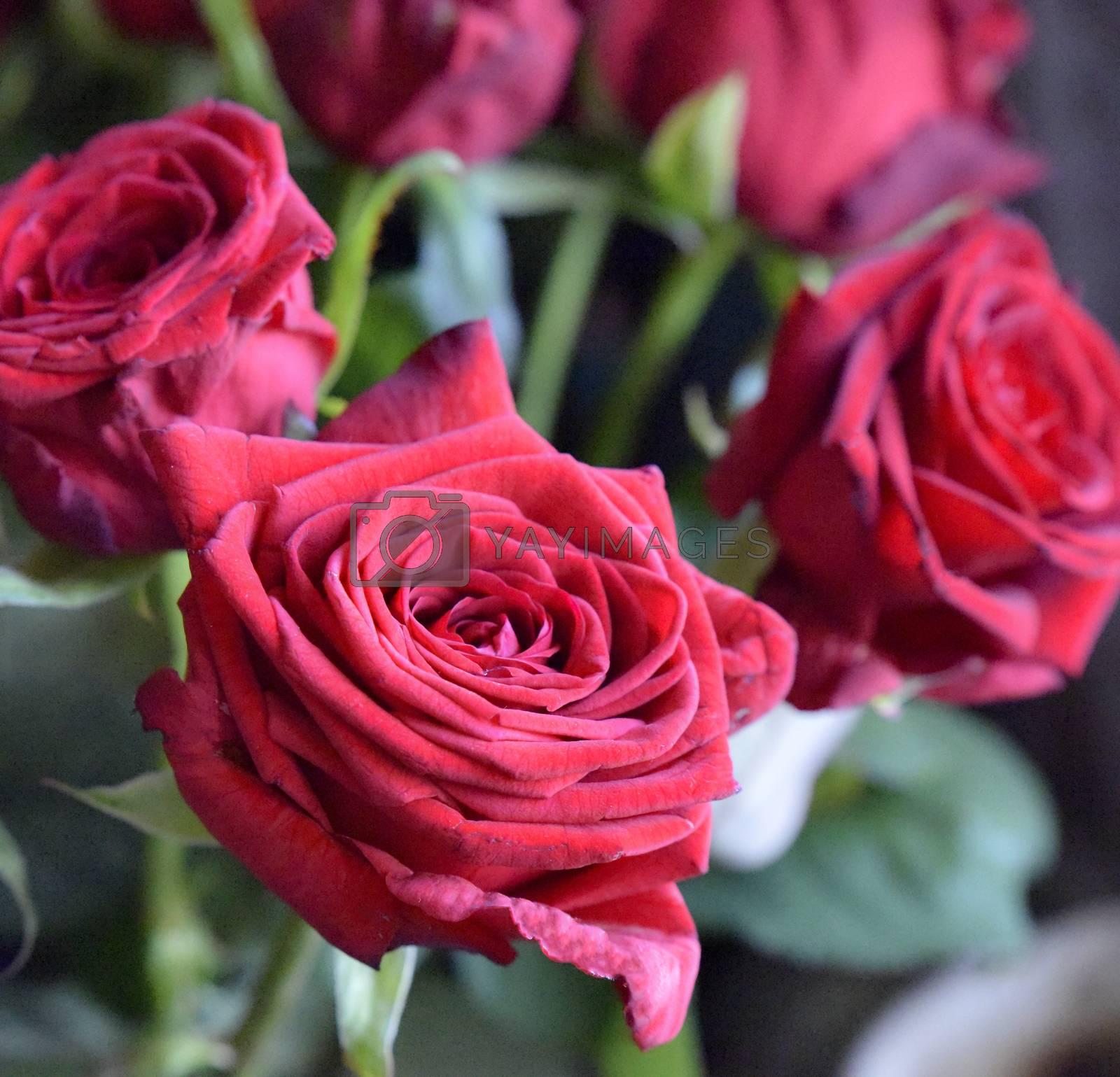 Bouquet of red roses, studio shot. Selective focus. Romance concept.