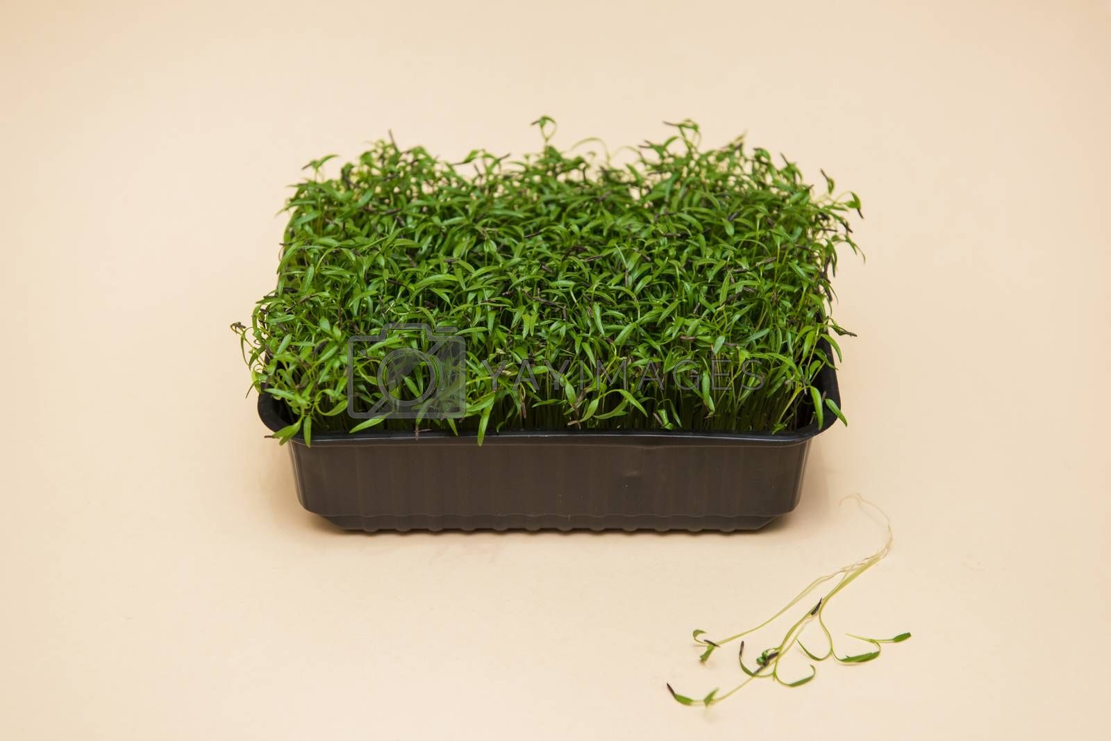Micro greens sprouts of amaranth on beige background. Concept of superfood and healthy organic food