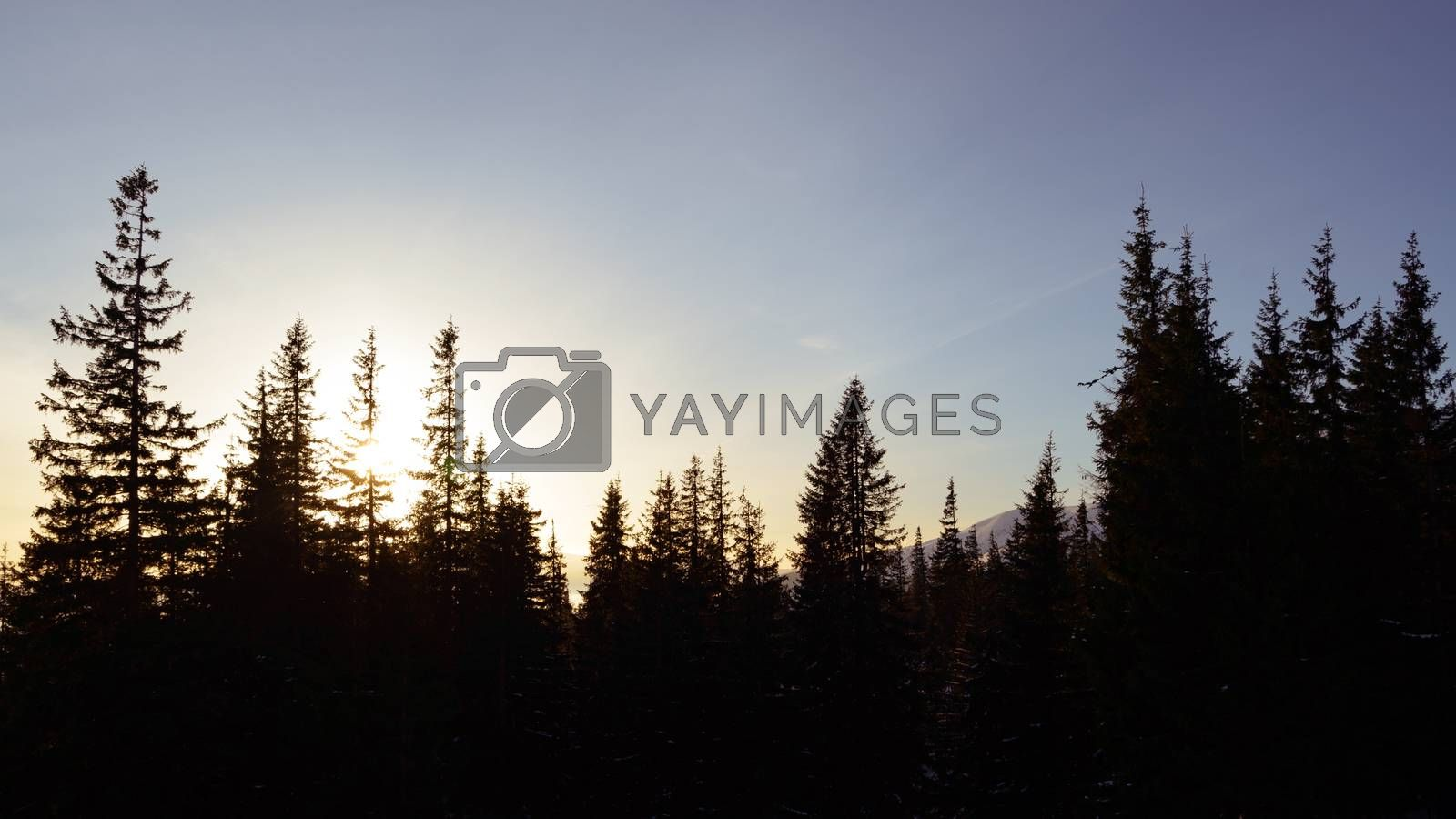 Beautiful Fir Trees with Bright Sun in the Morning Fog.