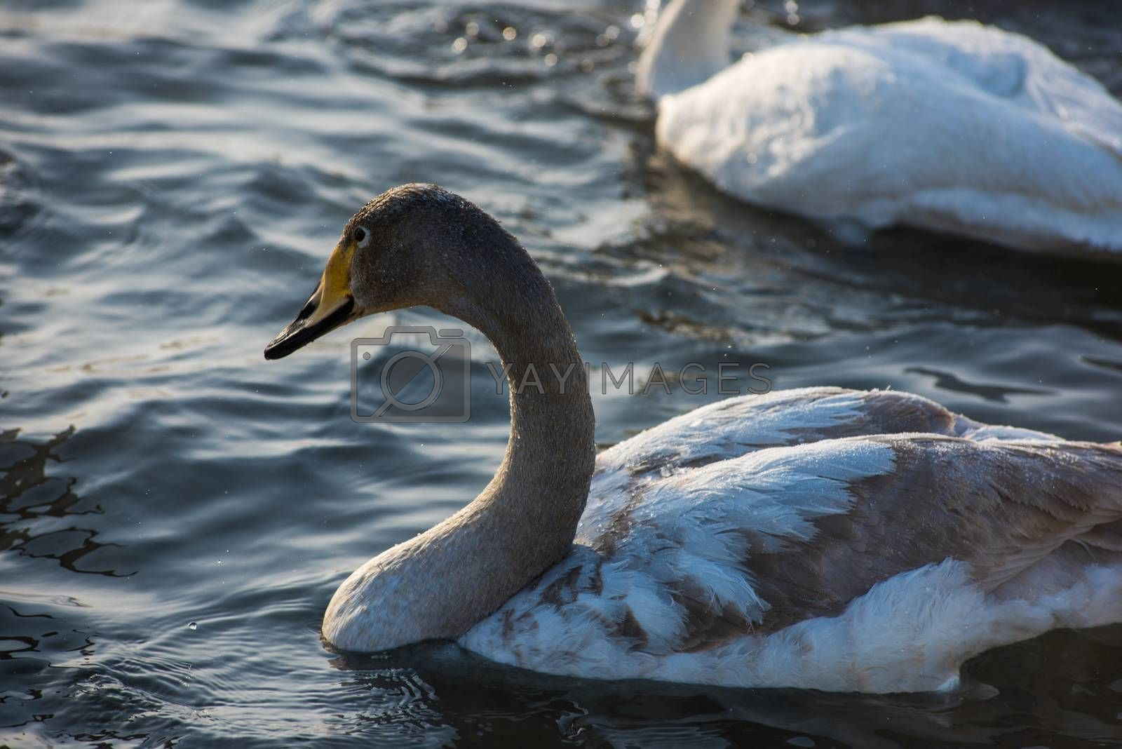 Royalty free image of Whooper swans swimming in the lake by rusak