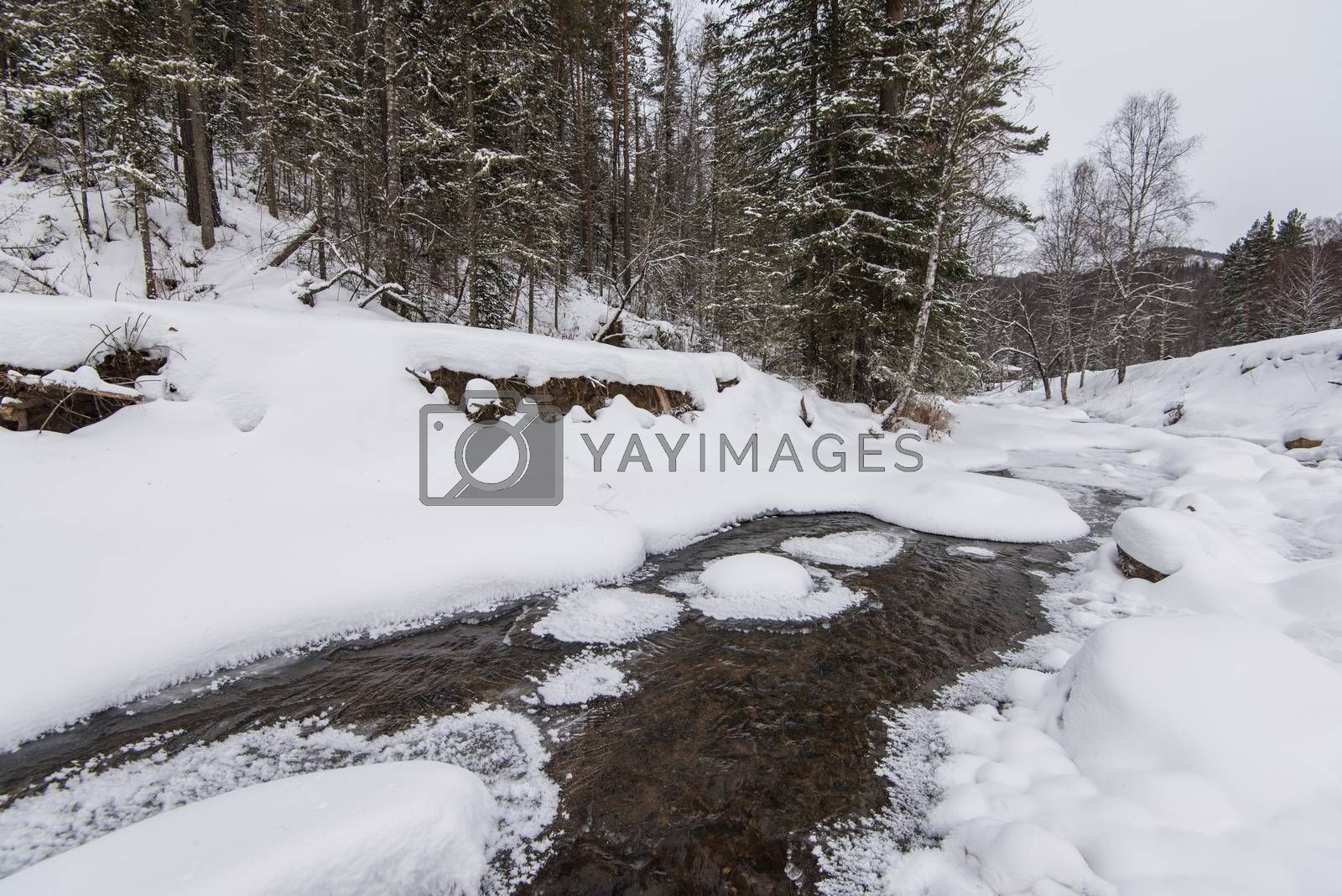 Royalty free image of mountain river in the winter forest by rusak