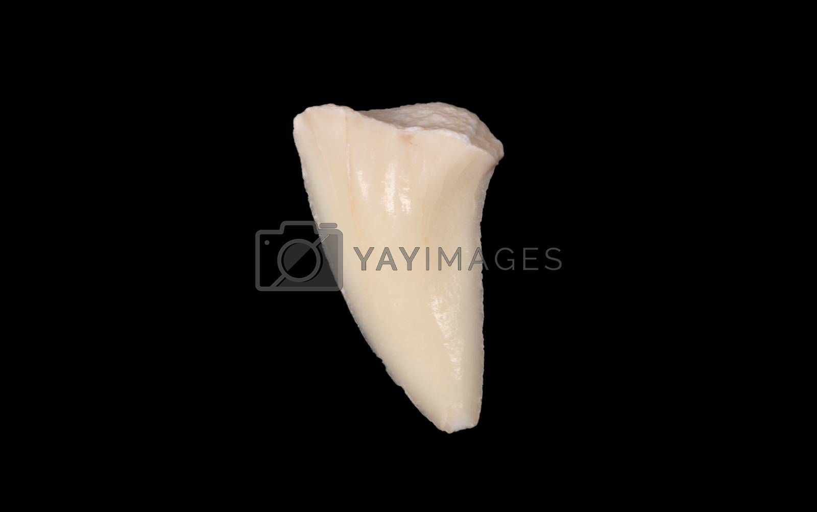 Shark tooth isolated on a black background