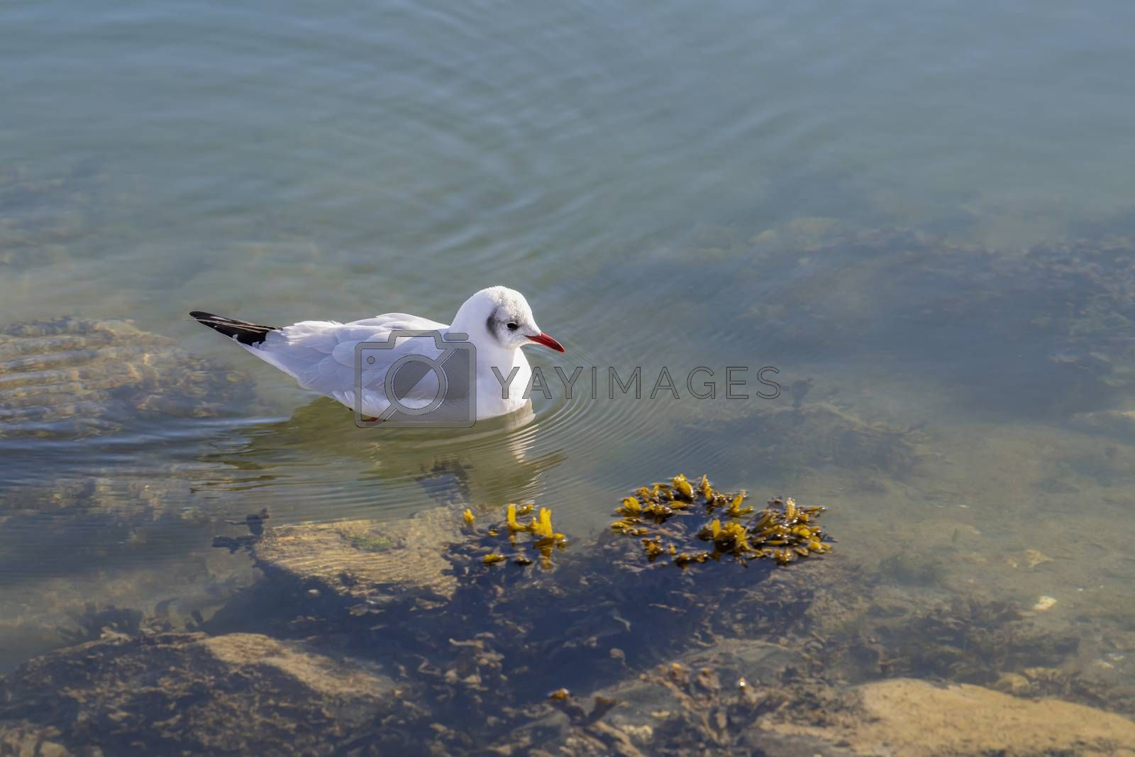 Gull in the water looking for food  by Tofotografie