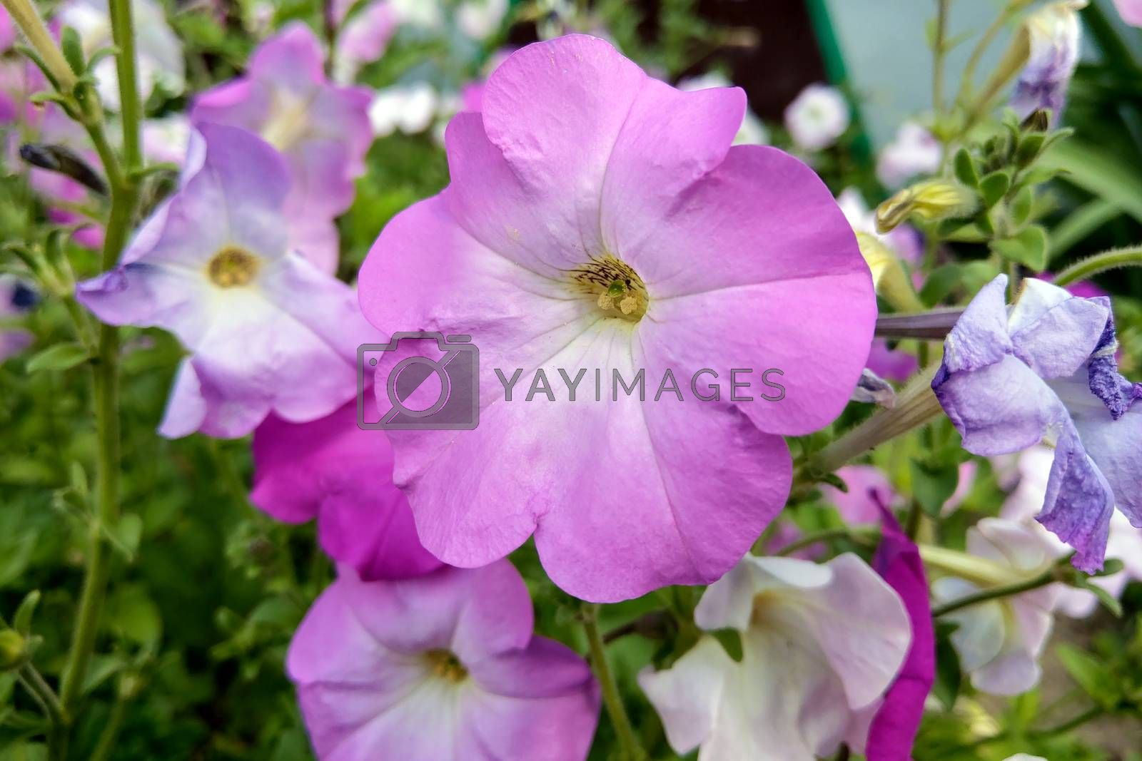 Geranium Grandiflorum, Regal Geranium. Elegance Jeanette. flower by kip02kas