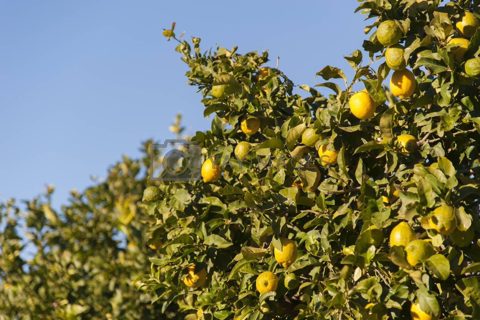 Lemontree with fresh yellow lemons and green leafs