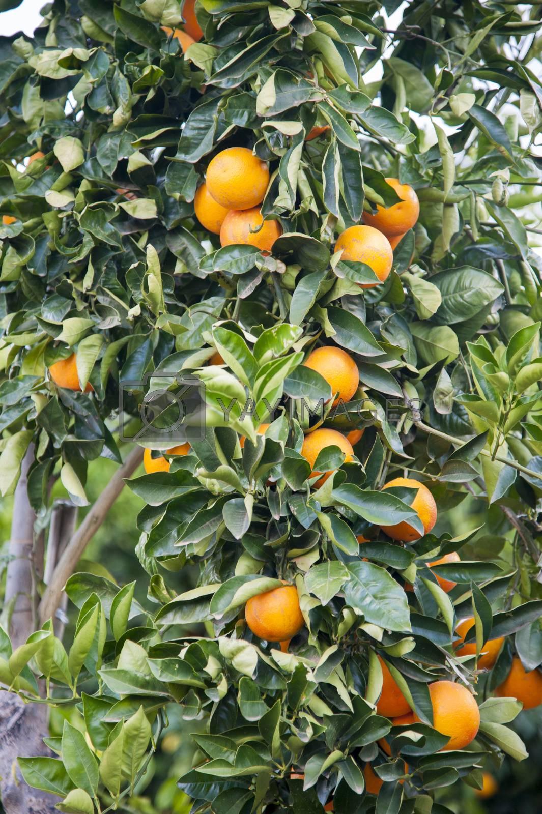 Tree growing fresh oranges
