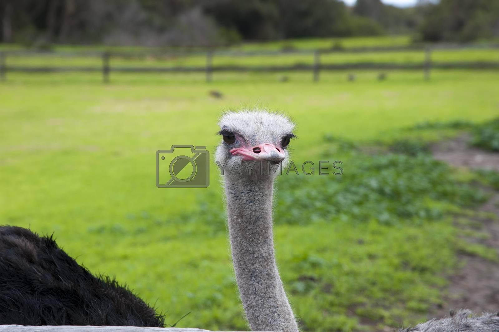 Closeup of an ostrich in a green meadow