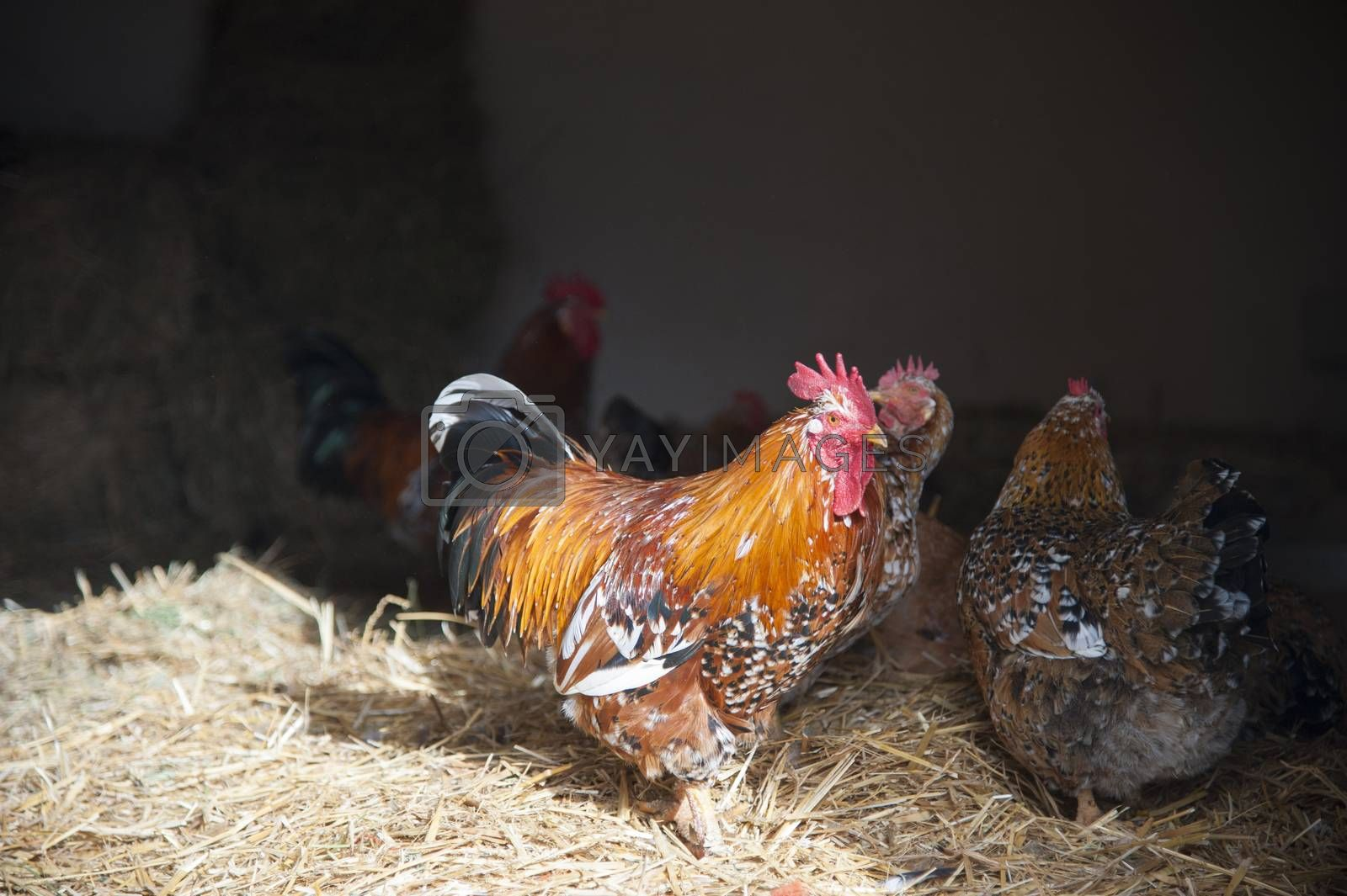 Rooster and hen walking in the hay on a farm