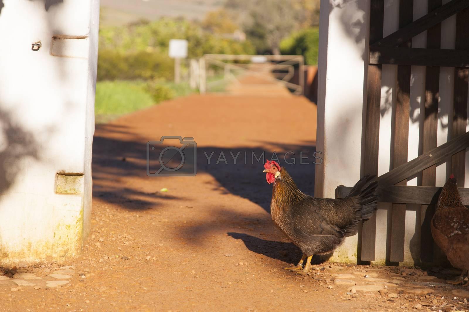 Chicken walking on red soil through a gate on a farm