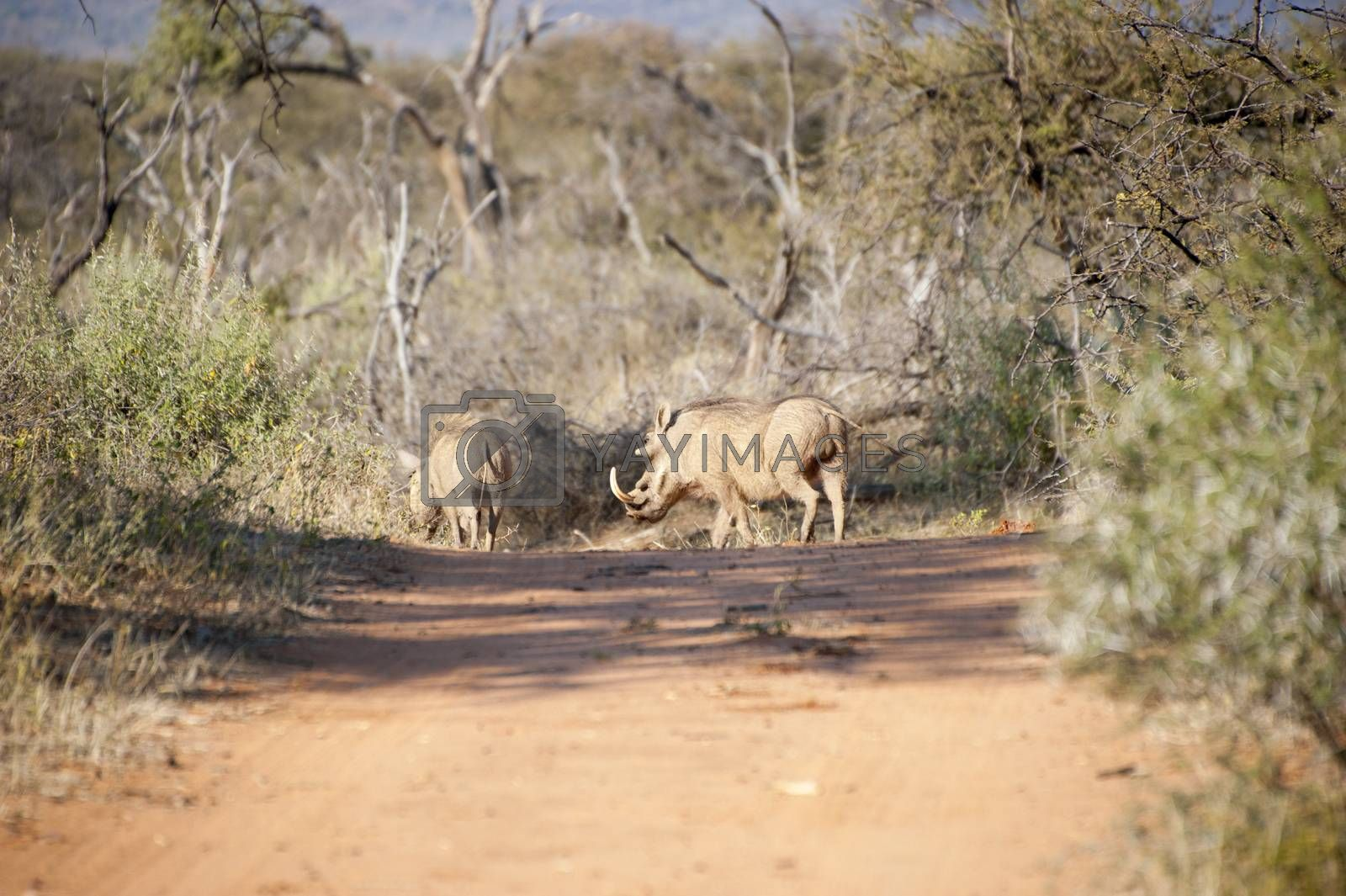 Family of warthogs walking across the sand road in Kruger National Park, South Africa