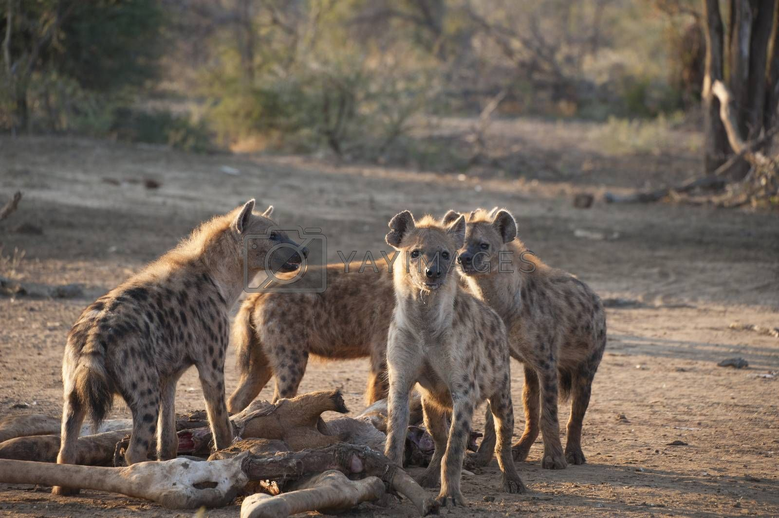 Group of four hyenas eating a dead giraffe at dush in Kruger National Park, South Africa