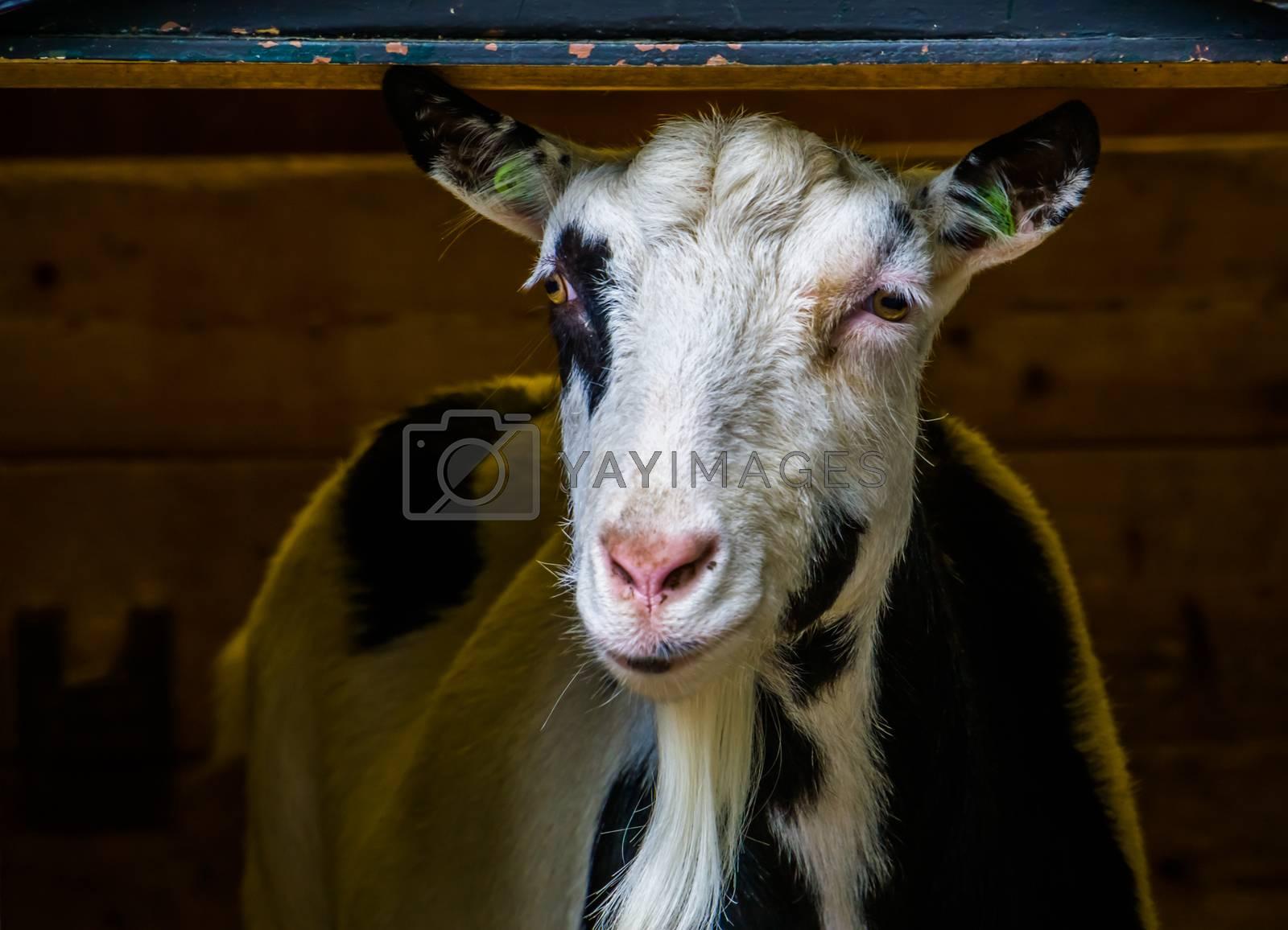closeup portrait of a domestic goat, Adorable farm animal, popular pet