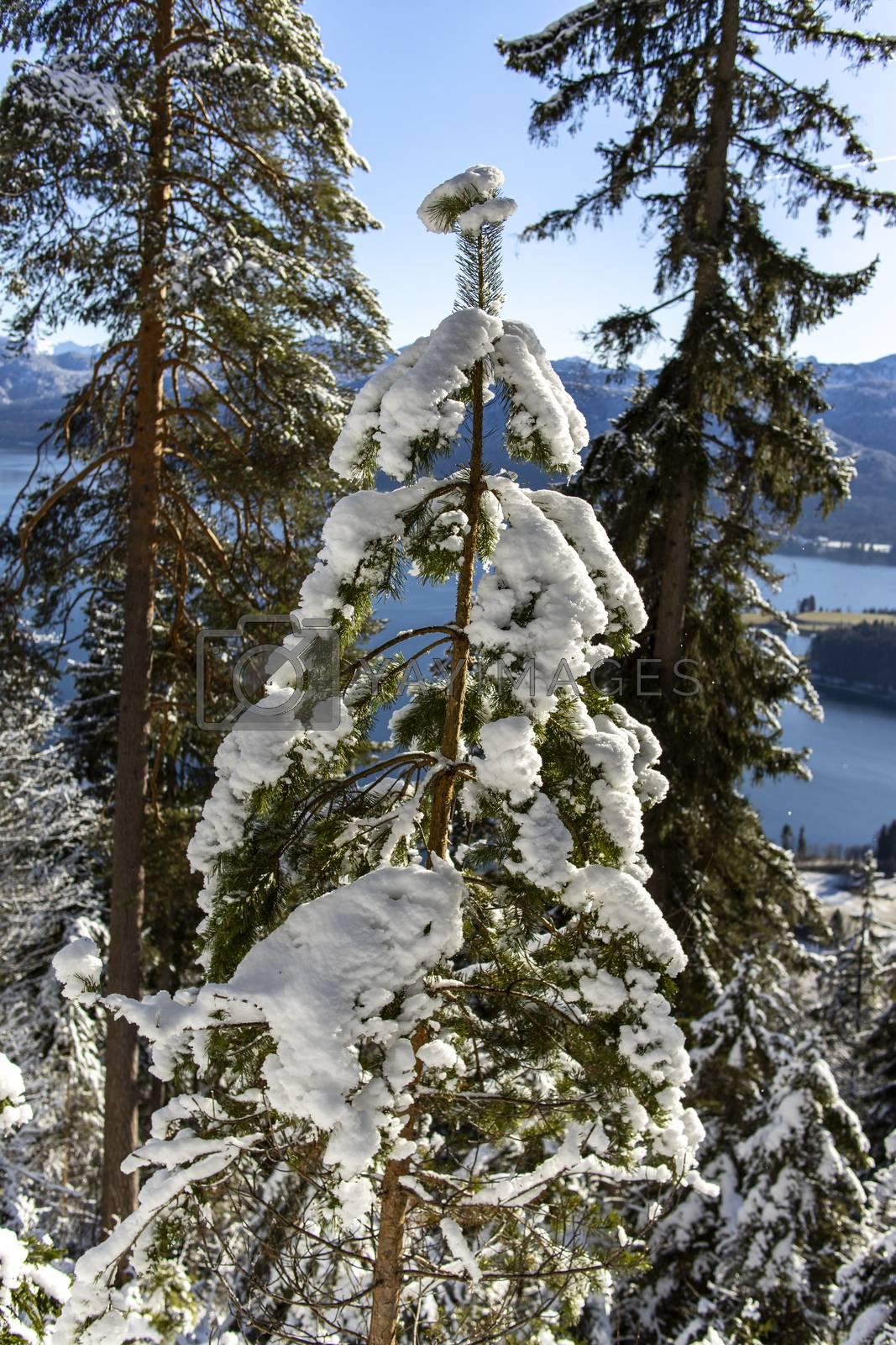 fur tree in fresh snow  by bernjuer