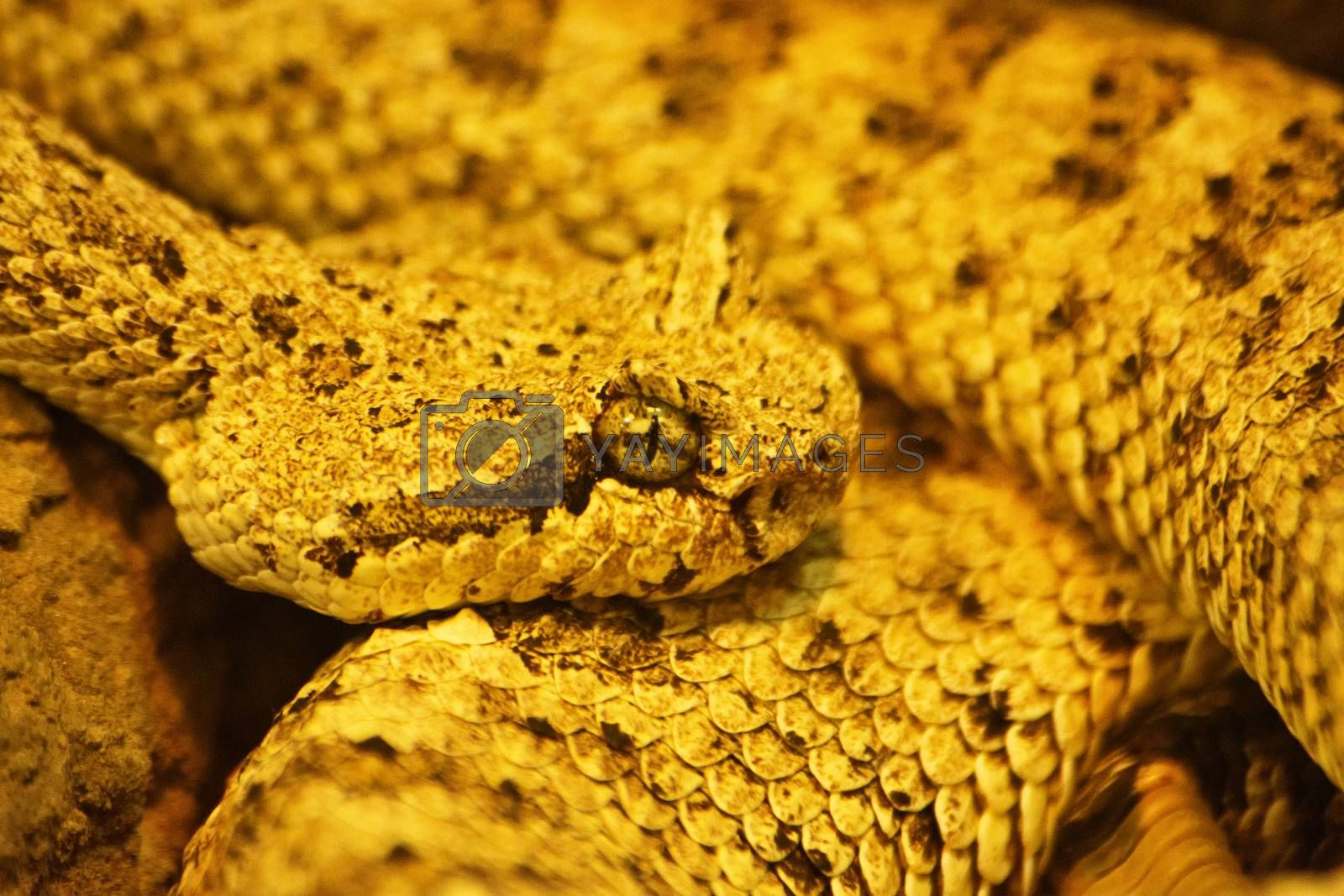 Close up shot of a curled up sidewinder (Crotalus cerastes), a venomous pitviper snake, also known as the horned rattlesnake and sidewinder rattlesnake. Species found in the desert regions of the southwestern United States and northwestern Mexico. Mesmerizing snake eye.