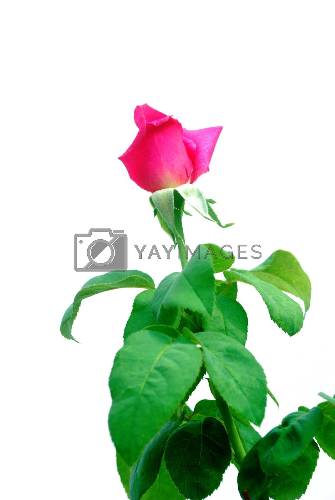 Pink rose isolated on white background.(with Clipping Path).