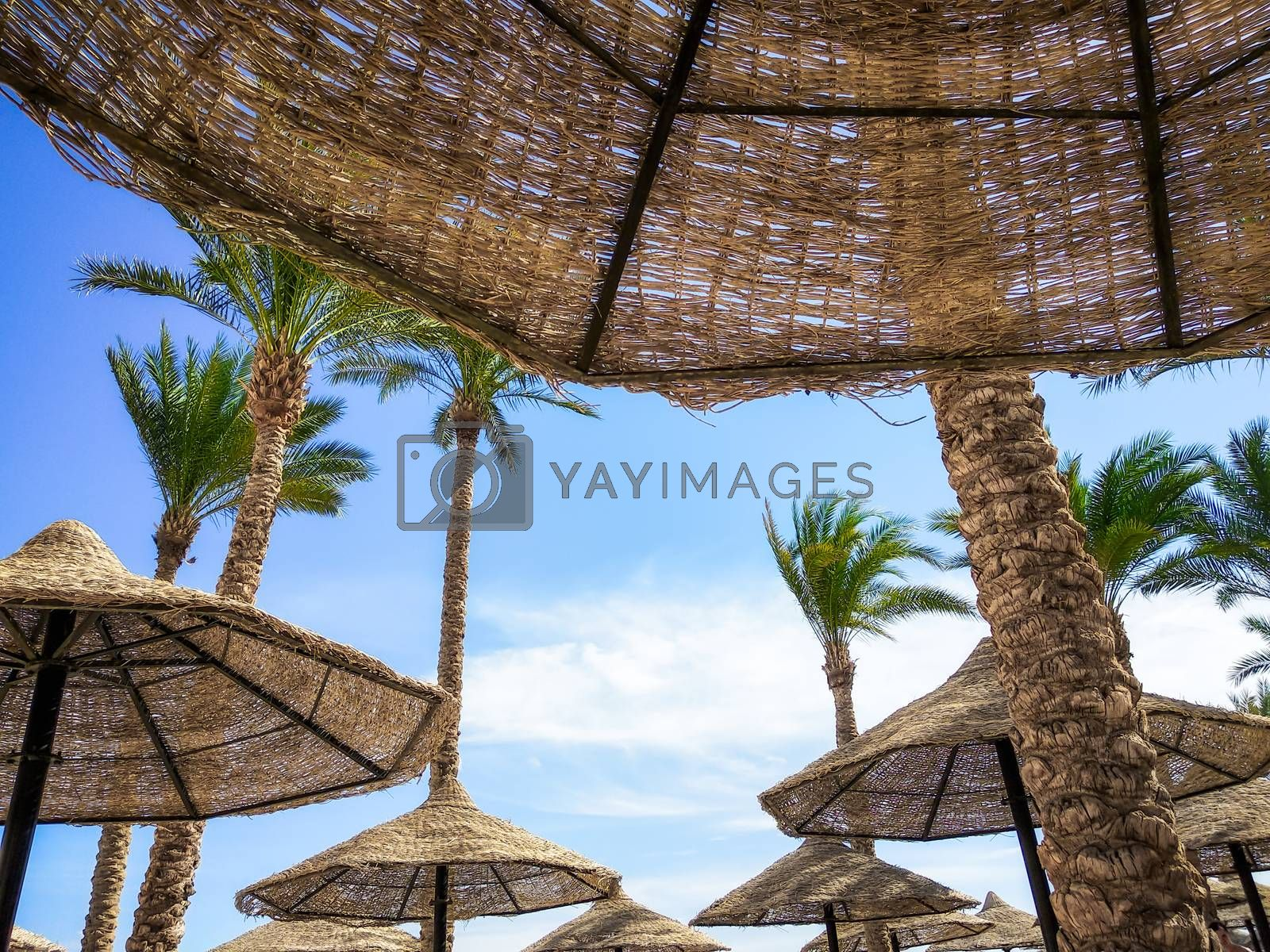 tropical background without people with palm trees and wooden umbrellas in Egypt Sharm El Sheikh