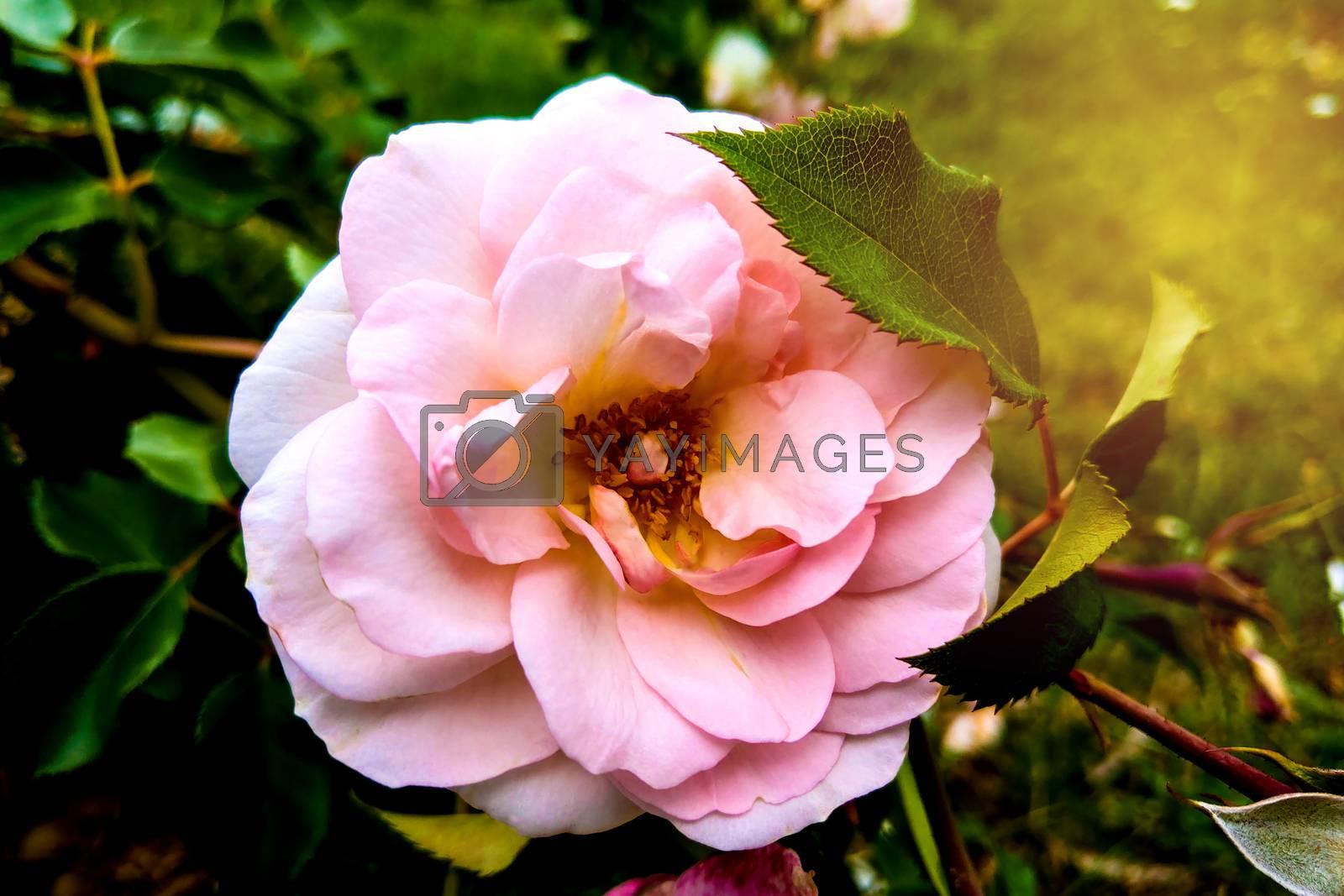 Pink Rose flower bloom on background blurry roses in roses garden