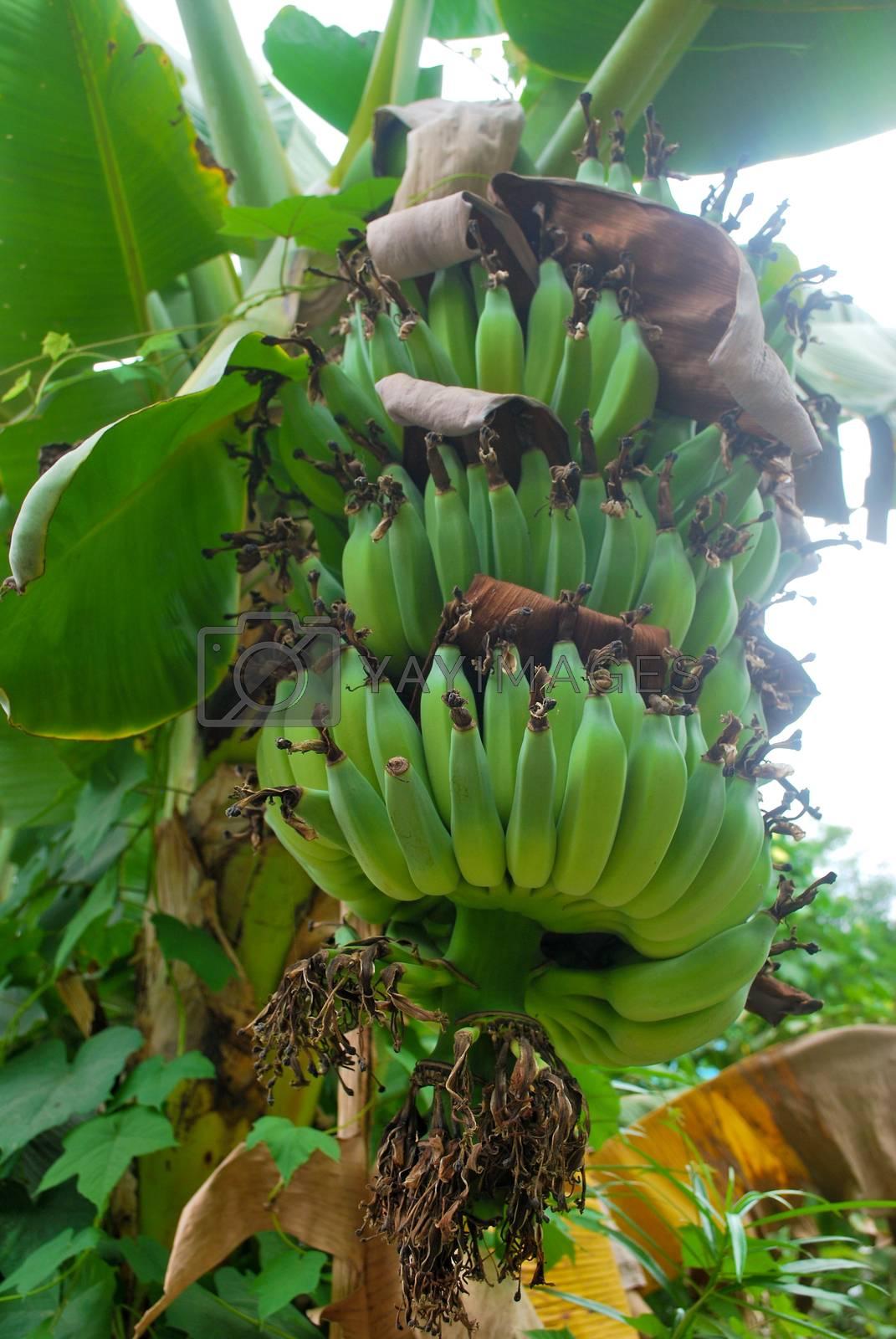 Banana species in Thailand, light green raw banana.
