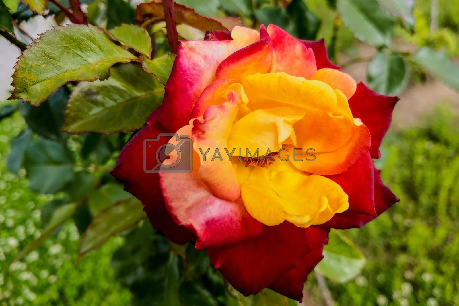 Macro, shallow depth of field image of a single red and yellow rose