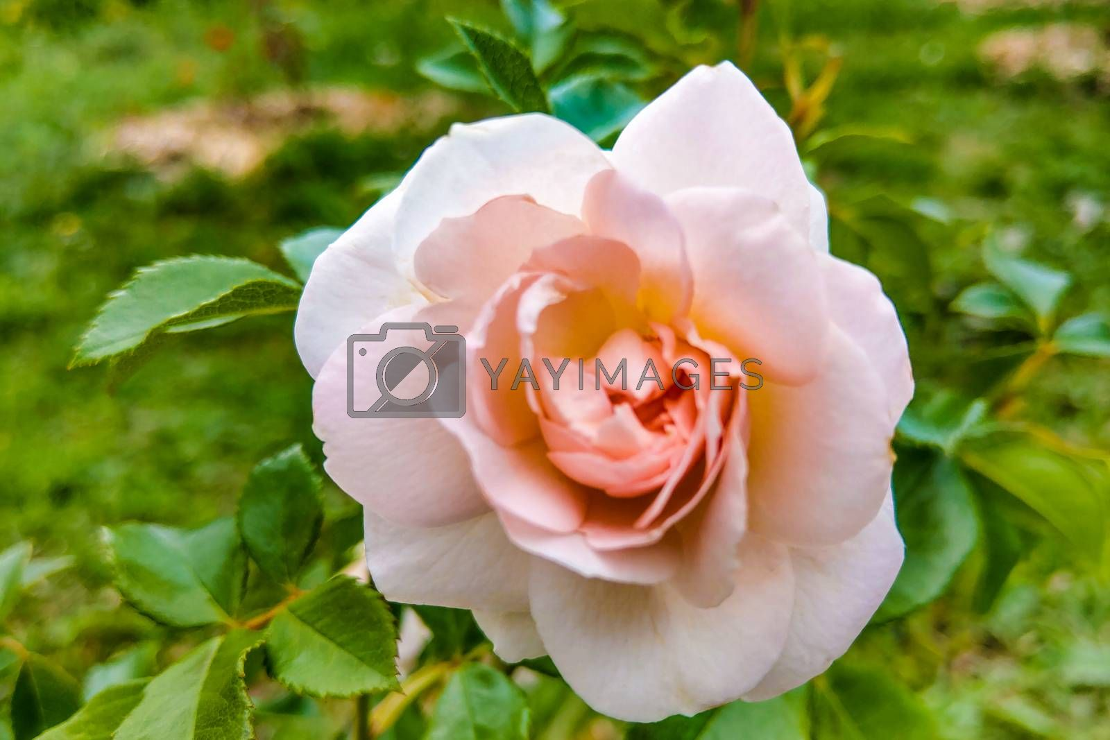 Beautiful pink rose in a garden, spring, nature