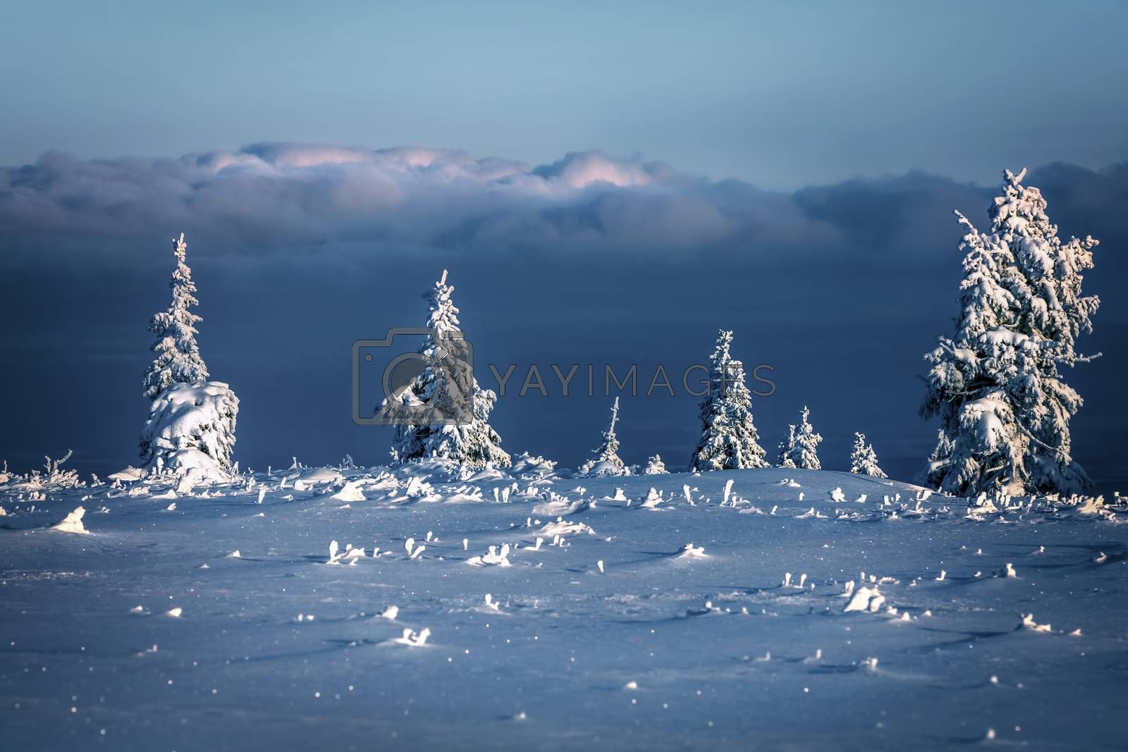 Beautiful winter landscape, little fir trees in the mountains covered with snow, amazing sunny frosty morning, nice wintertime weather, Czech Republic, Europe