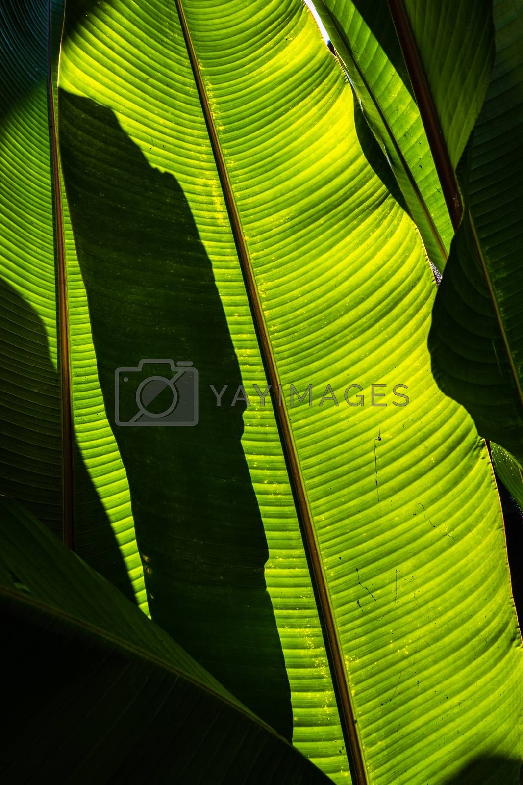 Shadow of banana leaf over its green leaf with clear texture and lines.