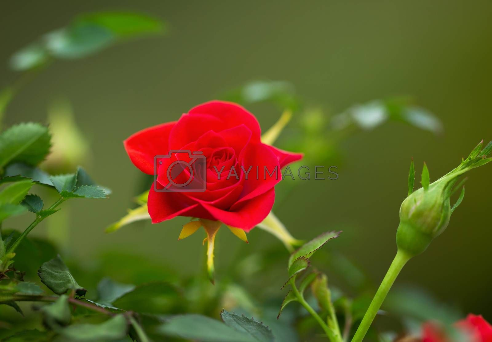 Horizontal closeup photo of single wild red rose in full bloom outdoors during spring season with green background