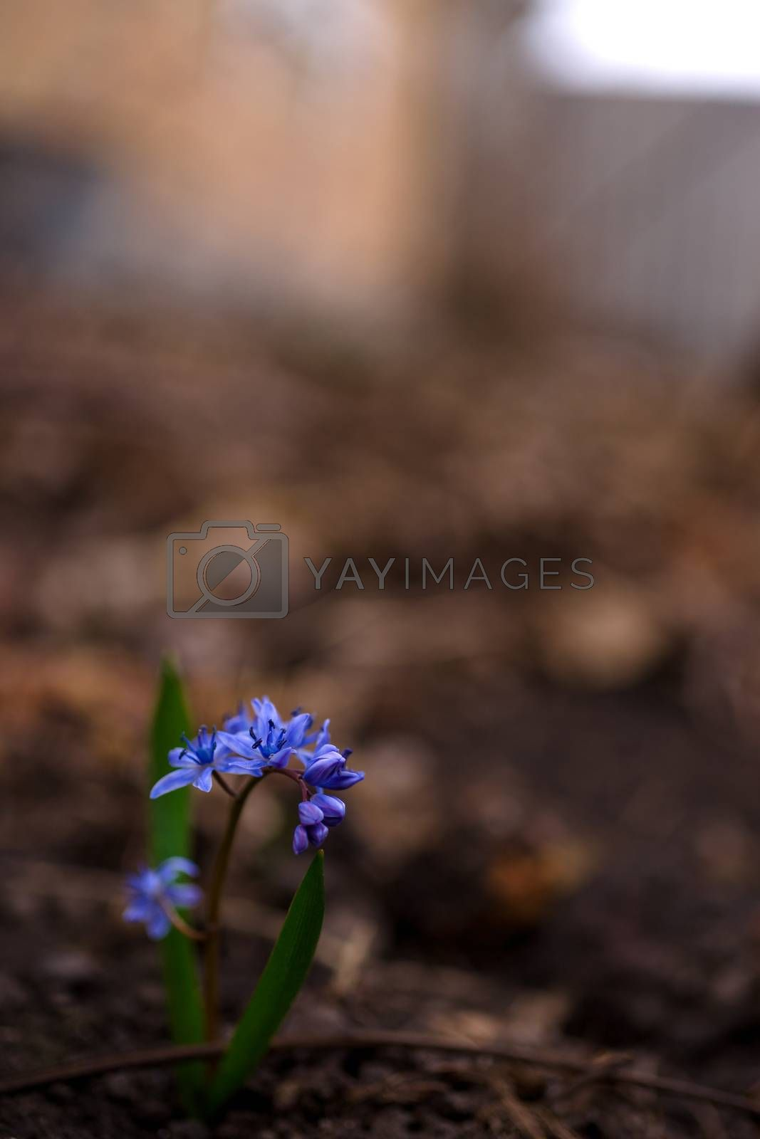 Bluebell flowers in the spring garden close up. Background is br by alexsdriver