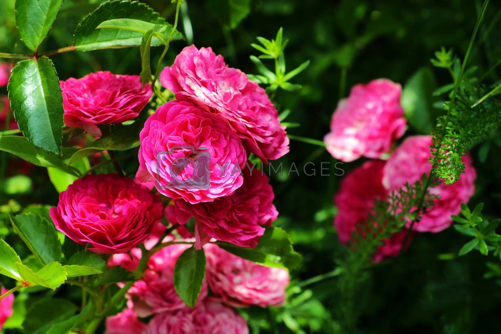 Flowering red roses in the garden, nature