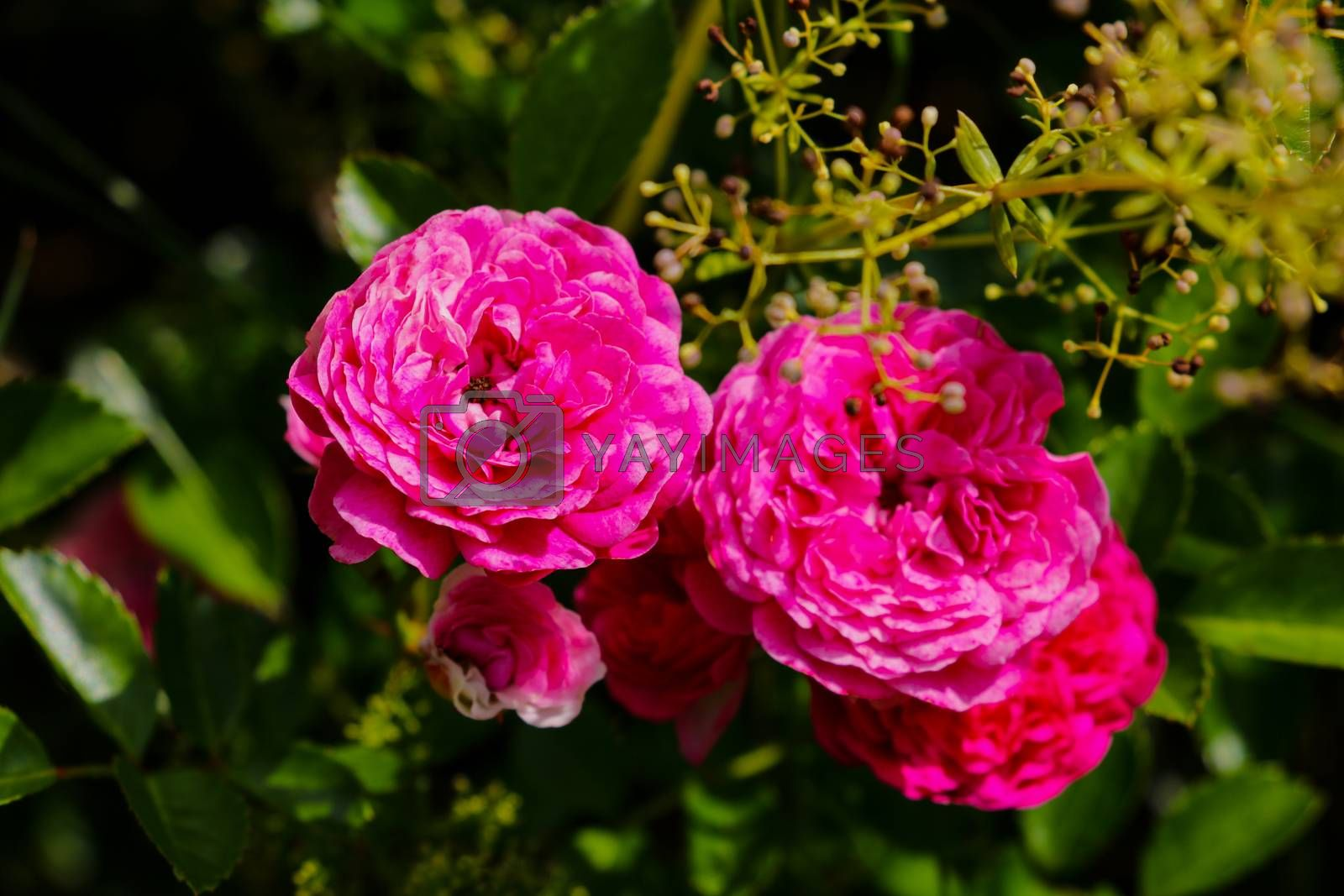 Flowering red roses in the garden, nature. by kip02kas