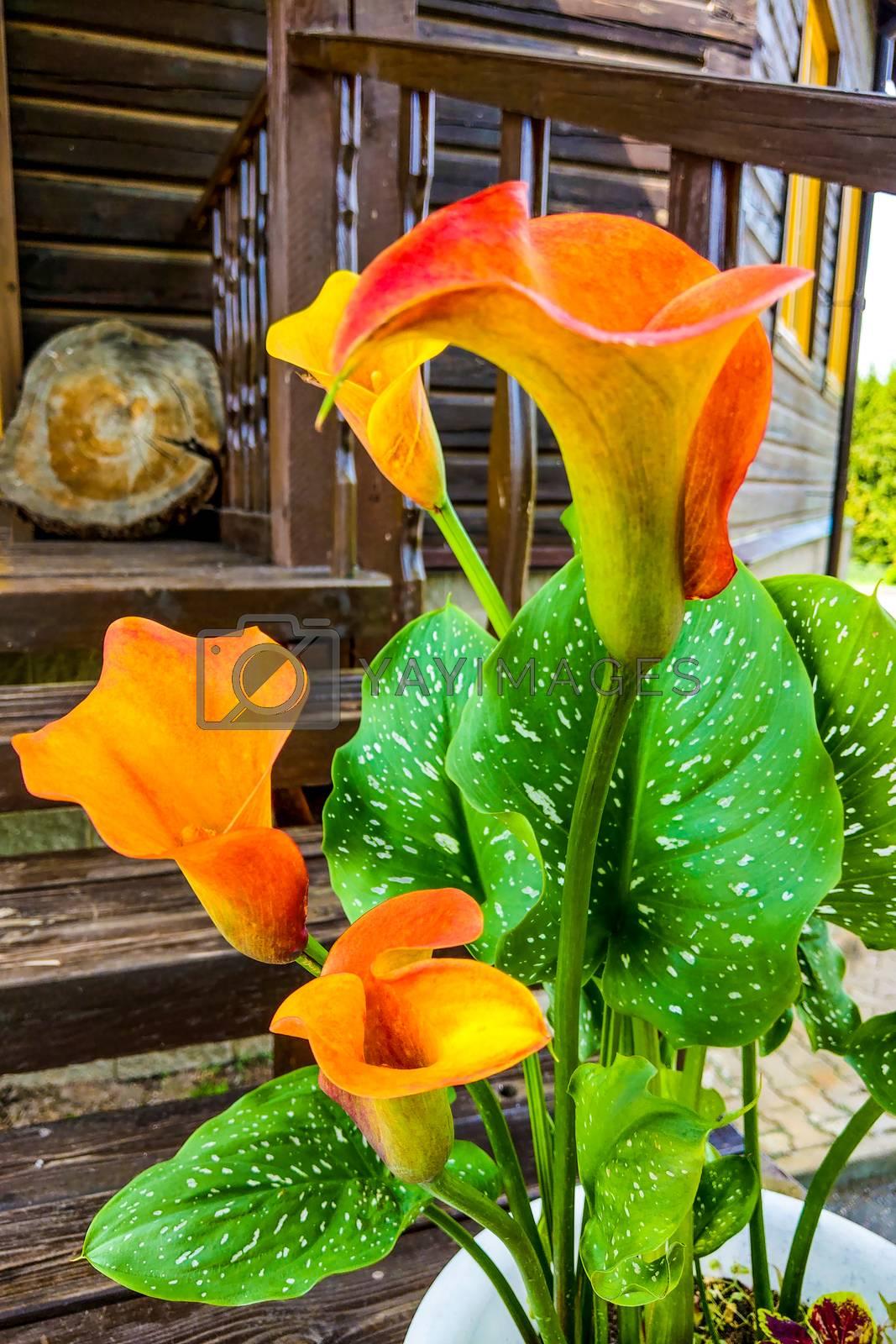 Orange Calla Lilies on plants in the garden